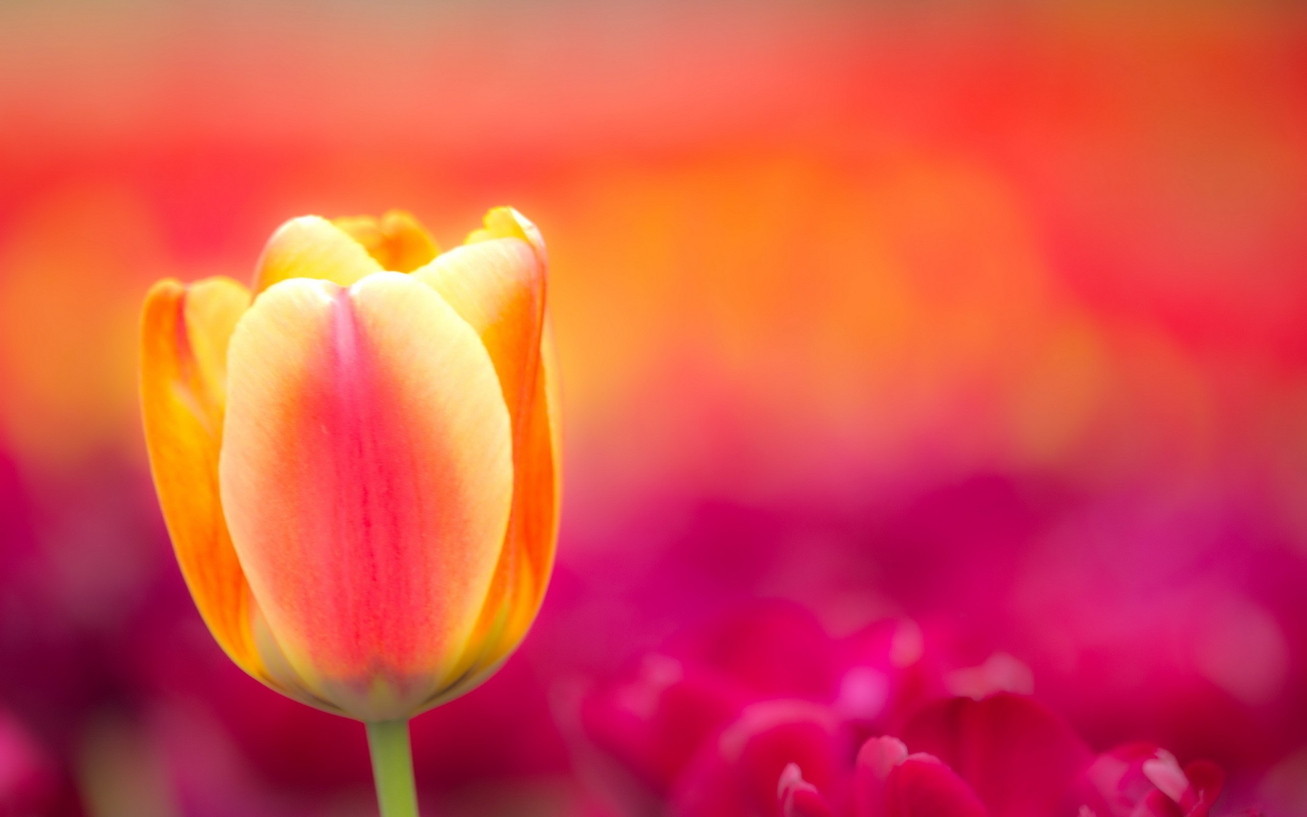 2560x1600 tulip flowers hd wallpaper