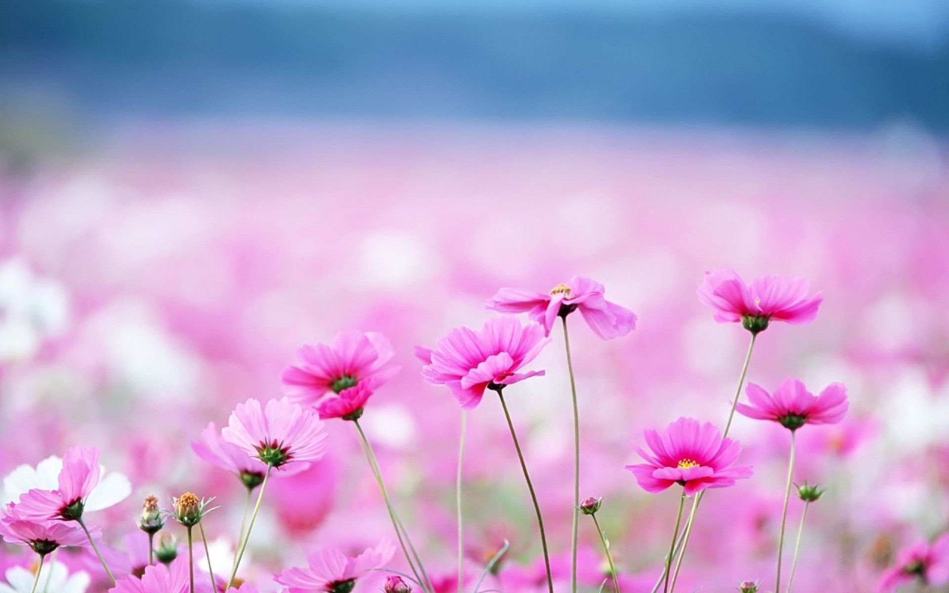 Hd wallpaper pink flowers 72 images 1920x1200 small pink flowers hd wallpaper 1920x1080 small pink flowers hd mightylinksfo