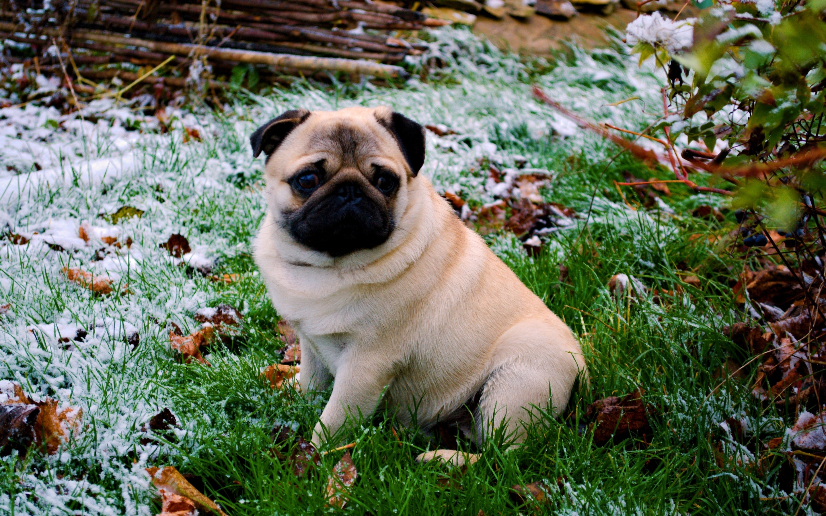 2880x1800 4K HD Wallpaper: Dog Breed - Pug