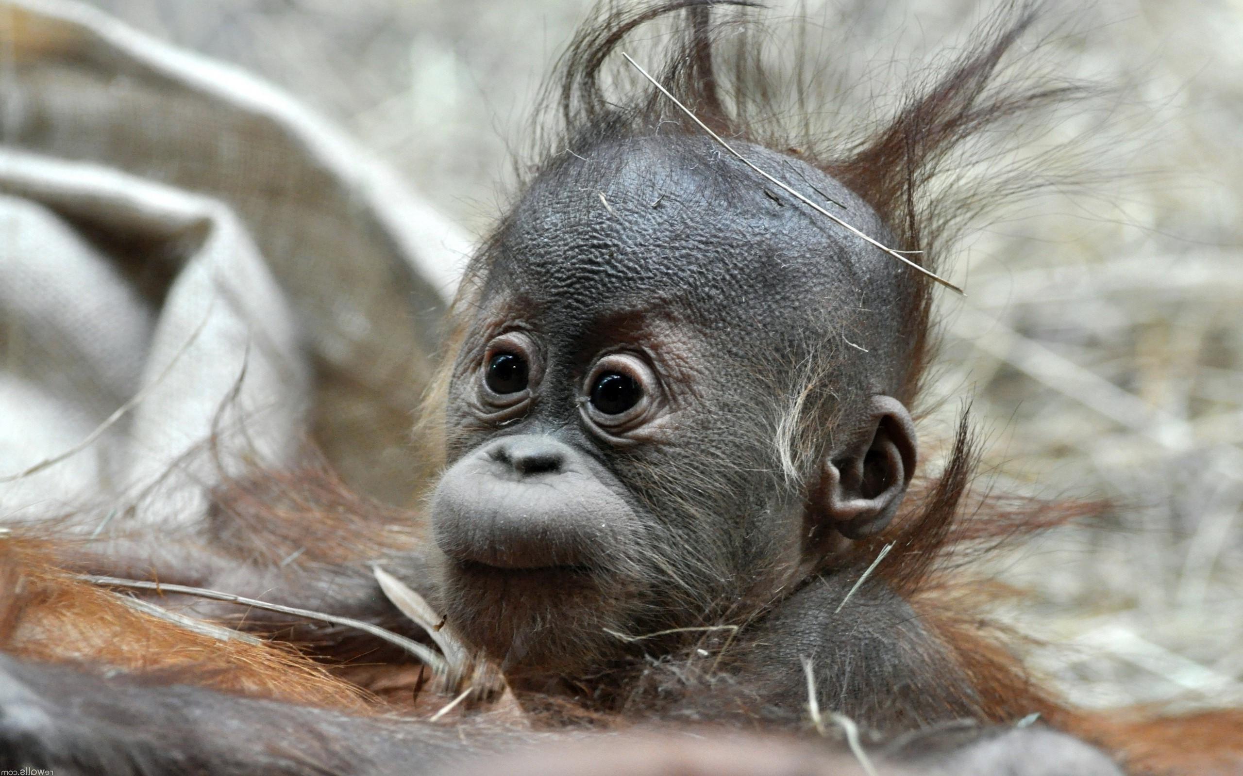 Cute Baby Monkey HD Desktop Wallpaper for K Ultra HD TV