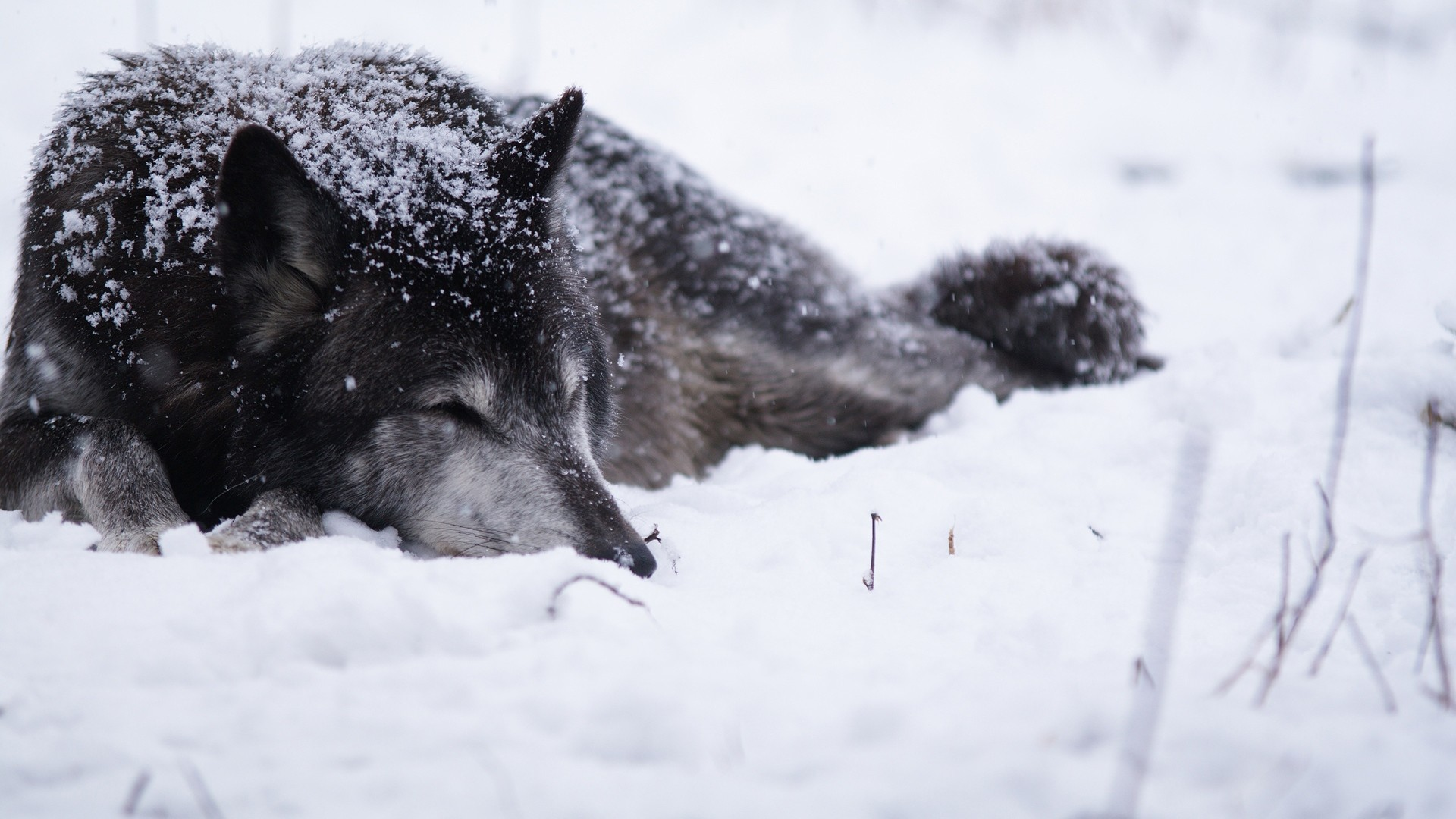 1920x1080 Download now full hd wallpaper wolf sleep snowbound winter ...