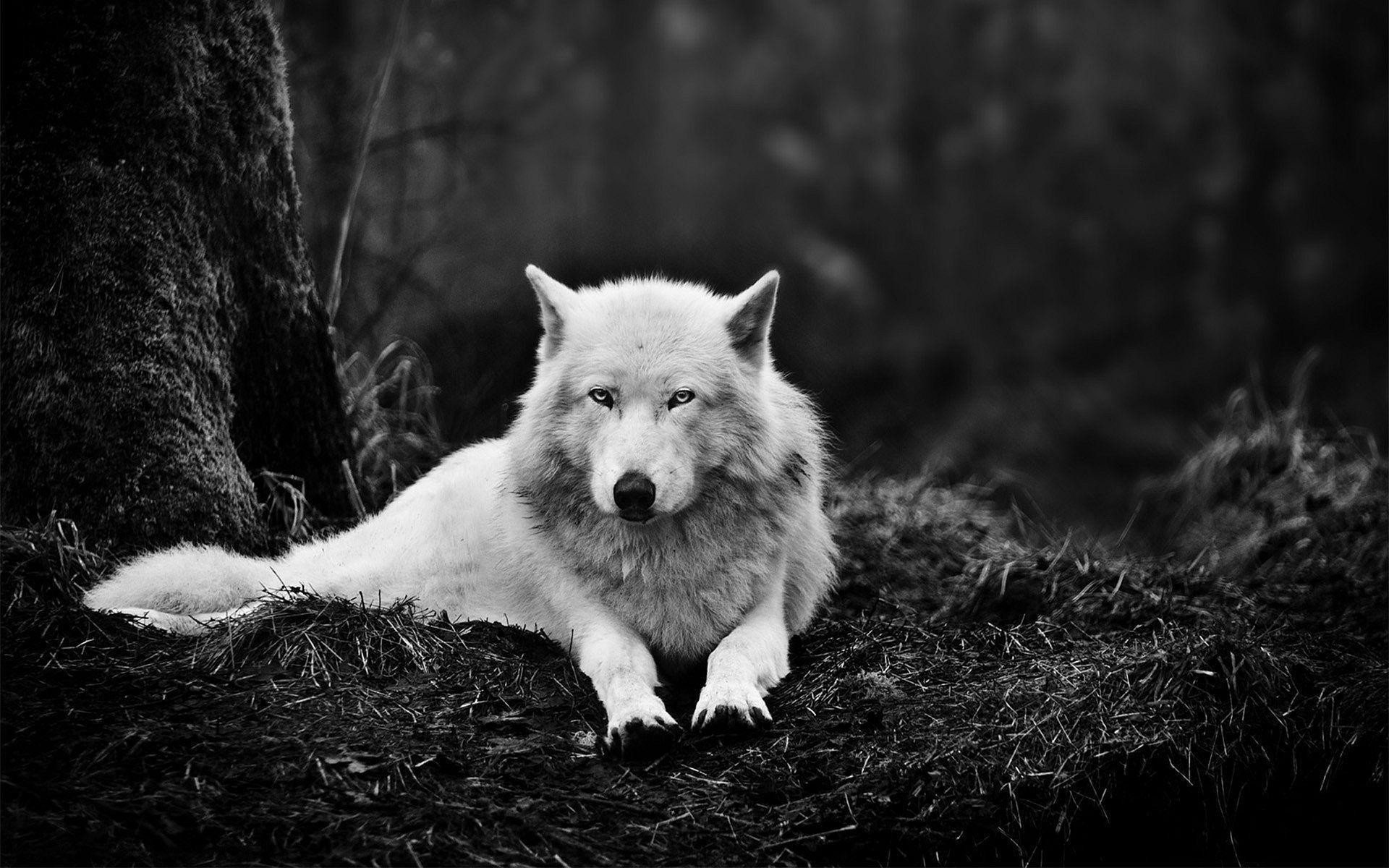 1920x1200 White Wolf Wallpapers - Full HD wallpaper search