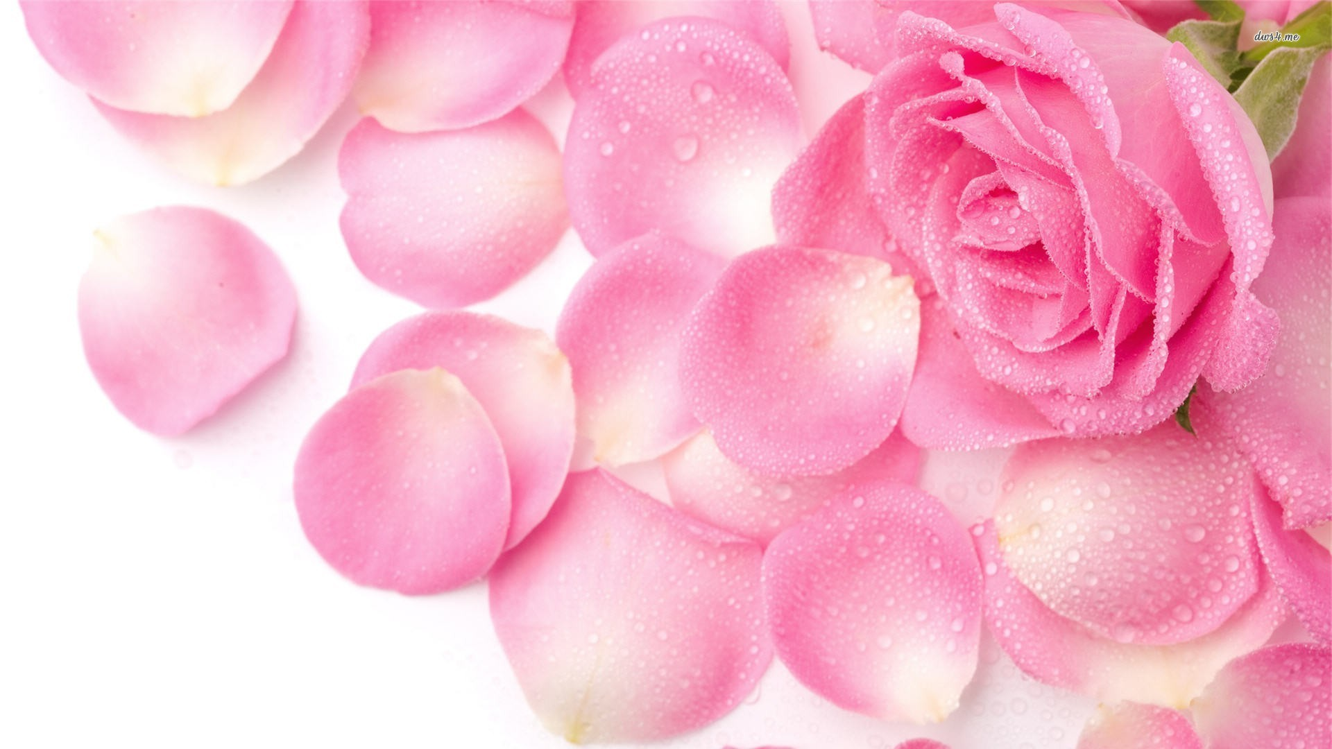 1920x1080 Hd Pics Photos Orange Rose Flowers Desktop Background Wallpaper