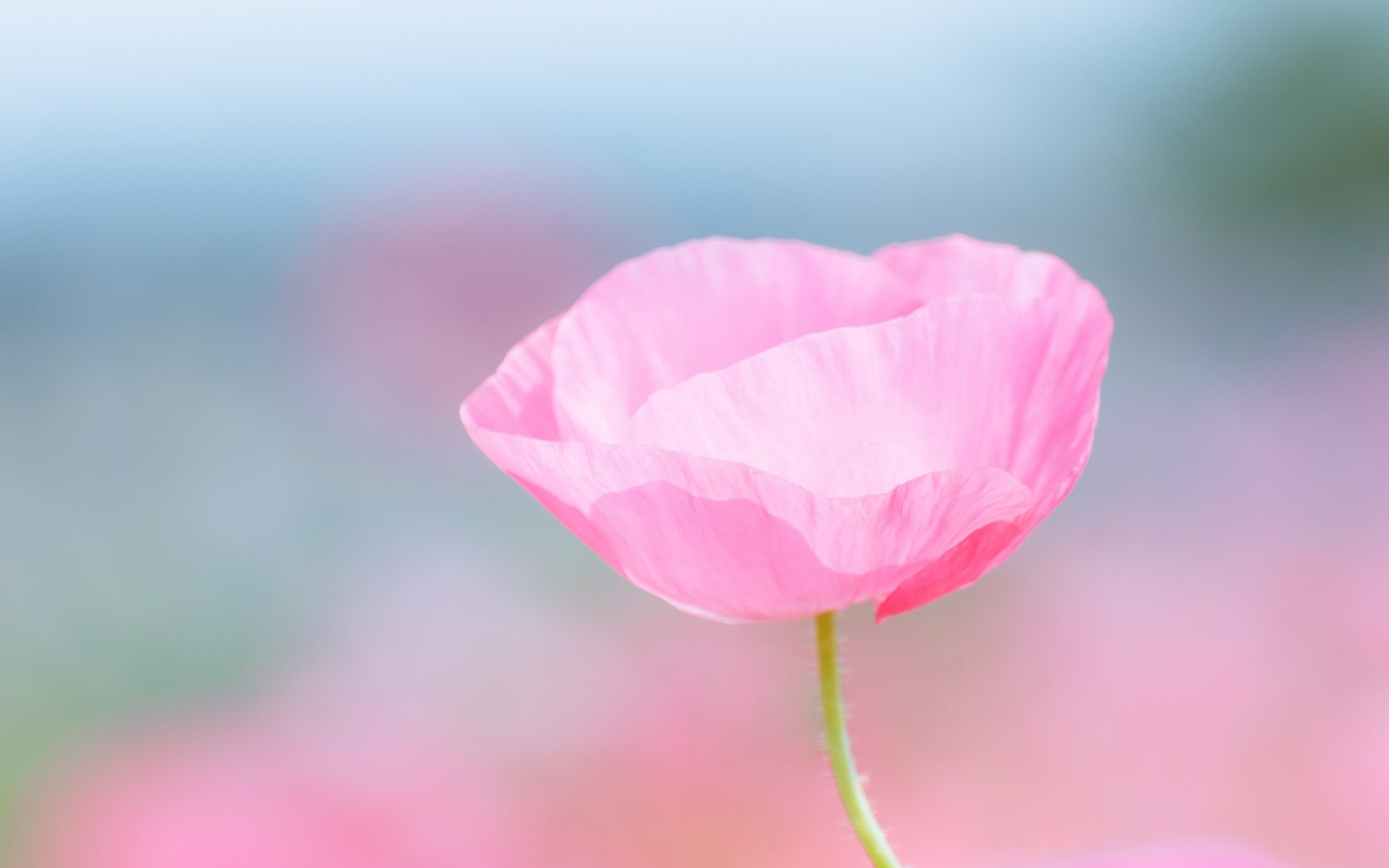 1920x1200 Poppy pink flower field close-up blurred wallpaper |  | 67751 |  WallpaperUP