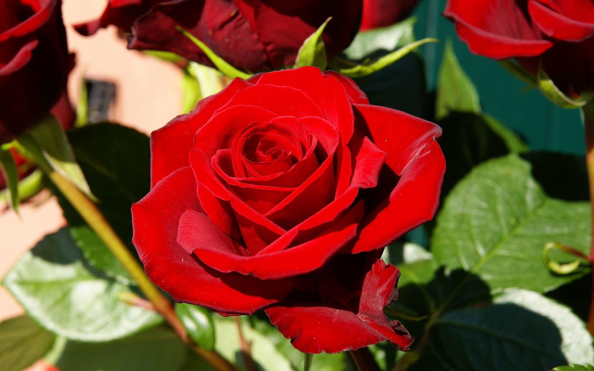 Flower Wallpaper Red Rose 63 Images
