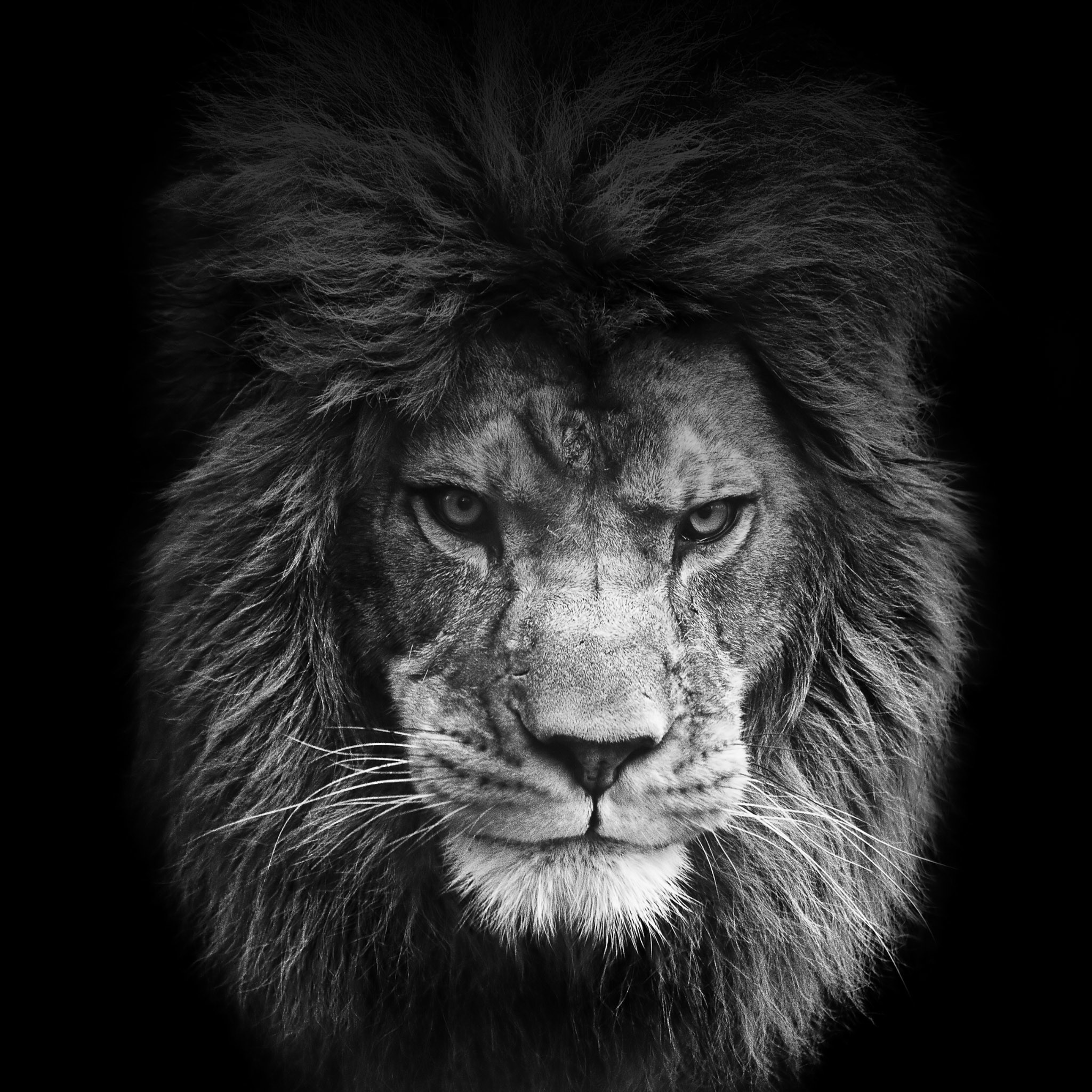 2560x1440 Lion Black And White Wallpaper Hd Resolution