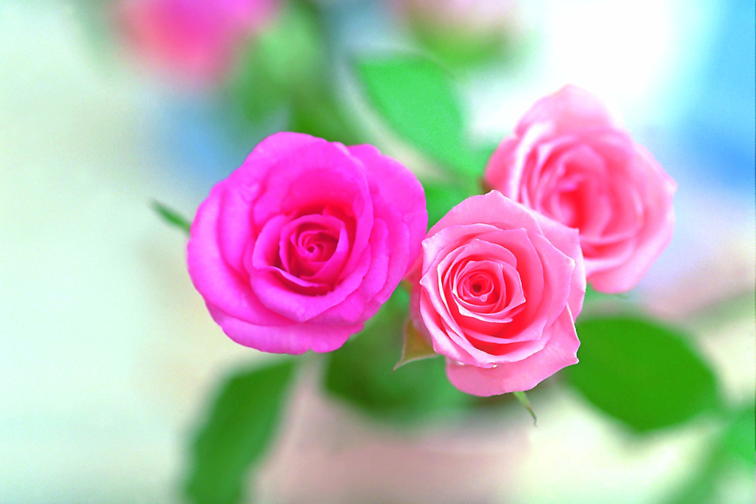 Pink Rose Flower Wallpaper 52 Images