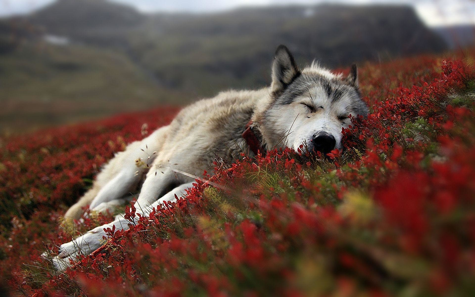 1920x1200  Wolf HD Wallpapers Backgrounds Wallpaper 1920×1200