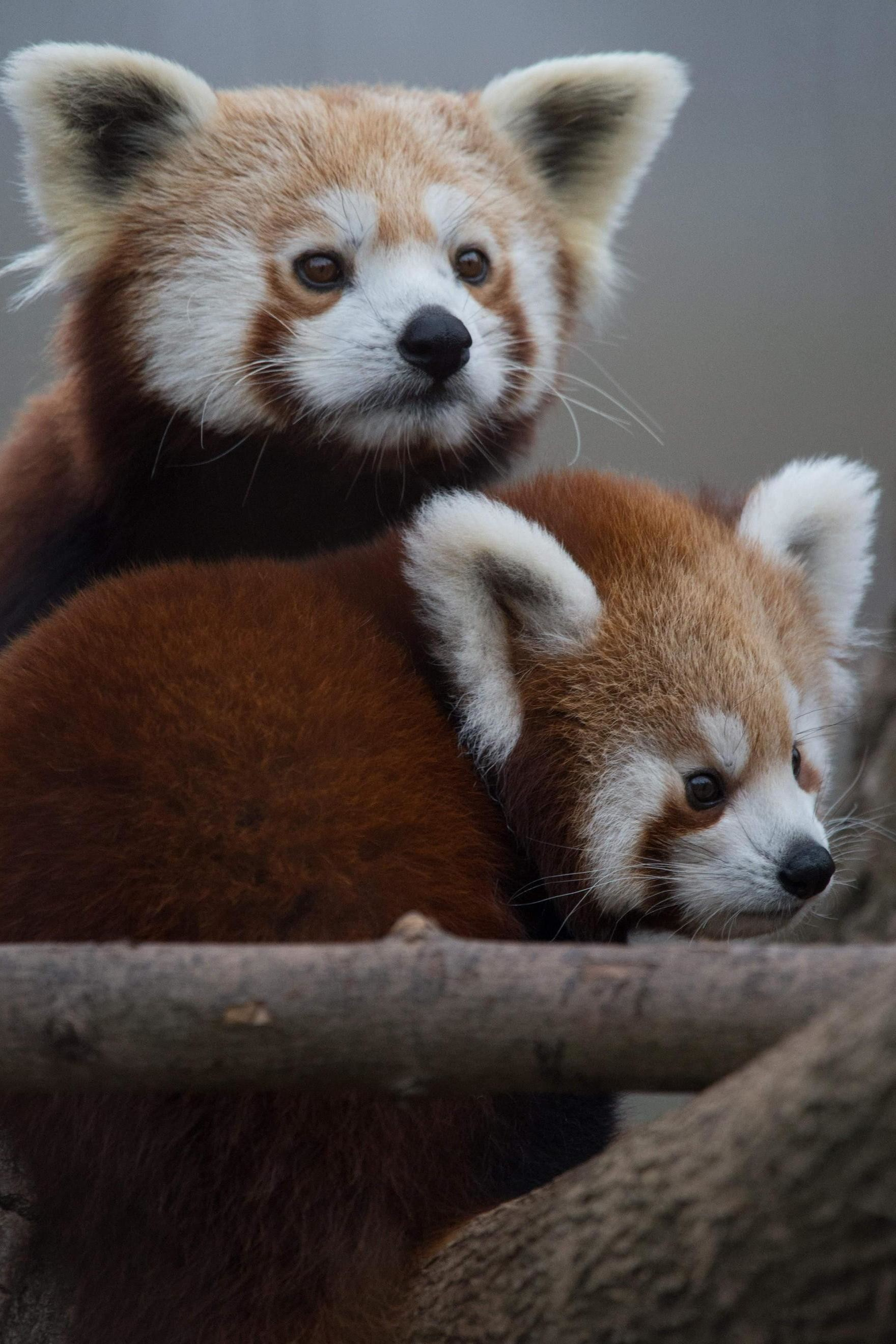 1760x2640 red panda cute animals iphone7 retina
