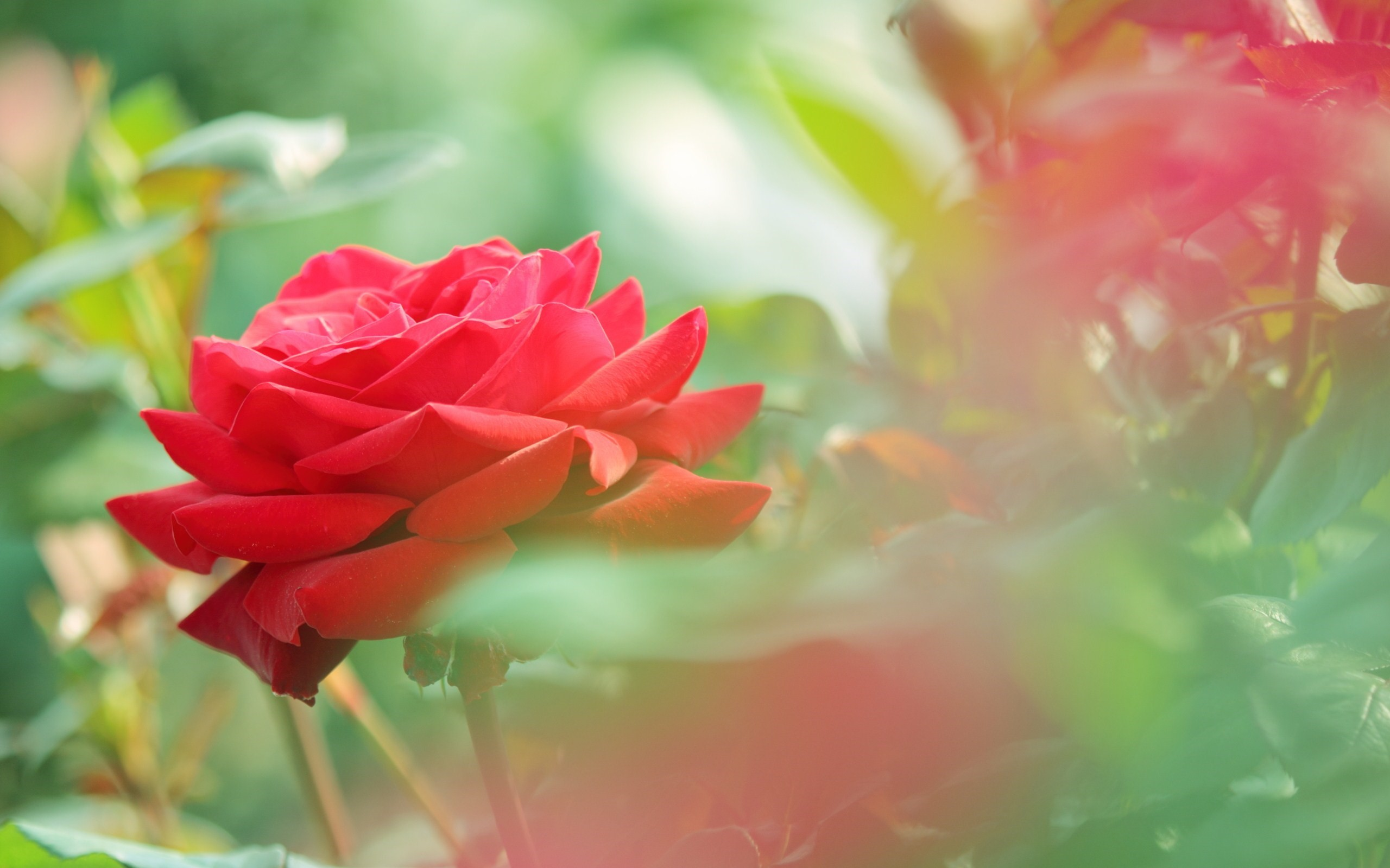 2560x1600 beautiful rose flowers images and wallpapers Download