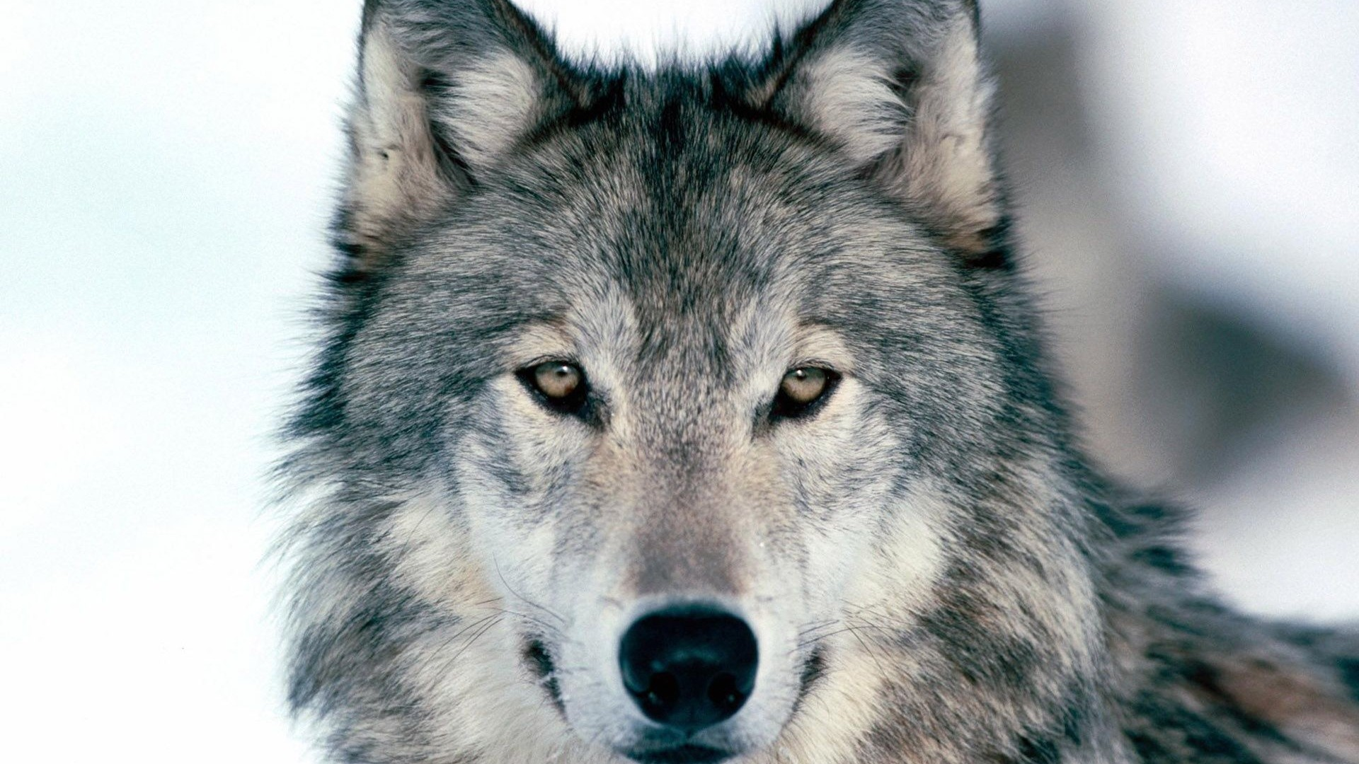 1920x1080 Preview wallpaper wolf, winter, snow, face, eyes, predator 1920x1080