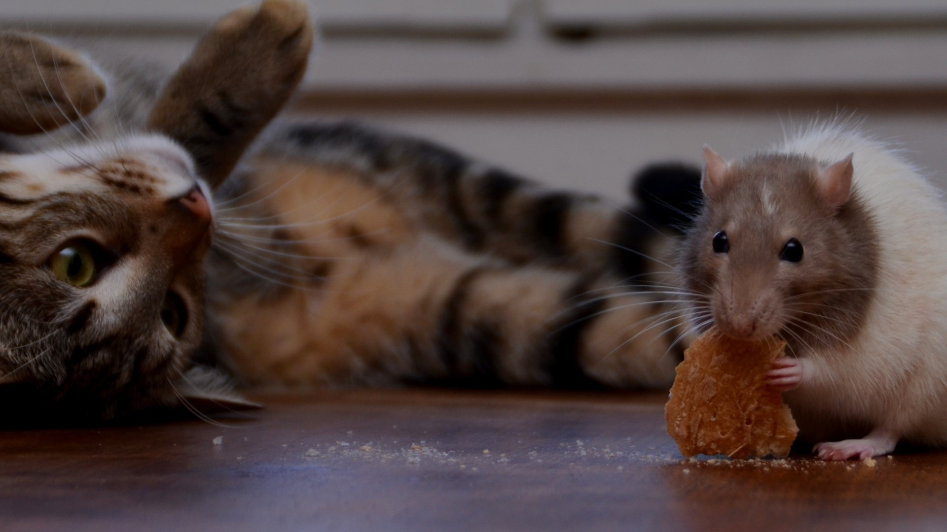 1920x1080 Preview wallpaper rat, cookie, cat, playful