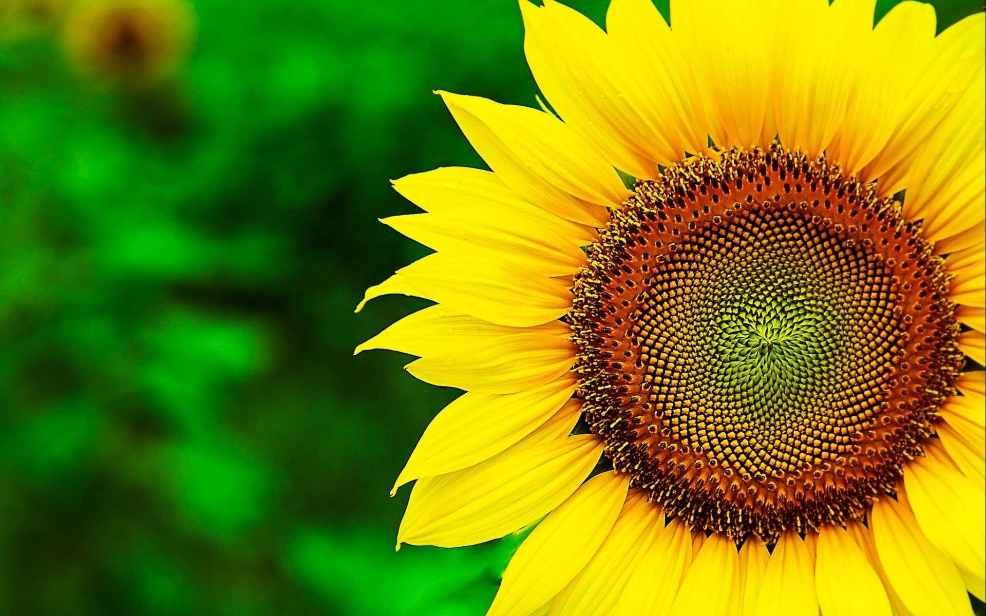 Sunflowers Wallpaper 61 Images