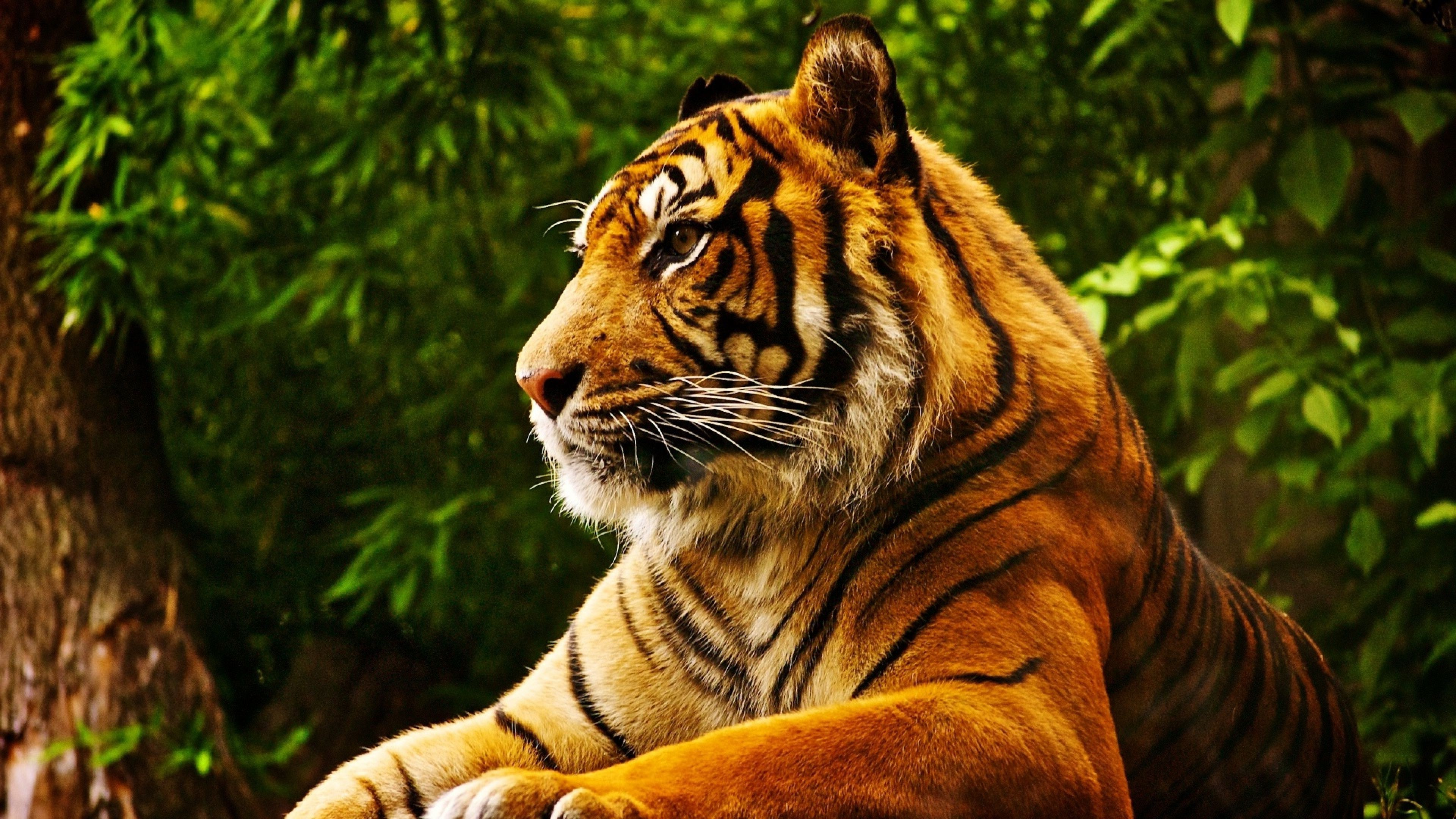 3840x2160 animals, Tropical Forest, Tiger Wallpapers HD / Desktop and Mobile  Backgrounds