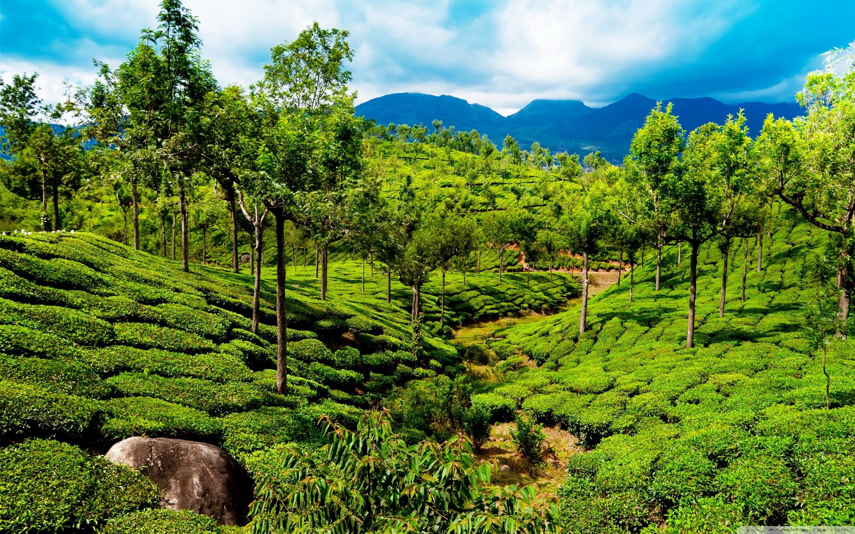 2880x1800 Green Tea Field Kerala India HD Wide Wallpaper For 4K UHD Widescreen Desktop