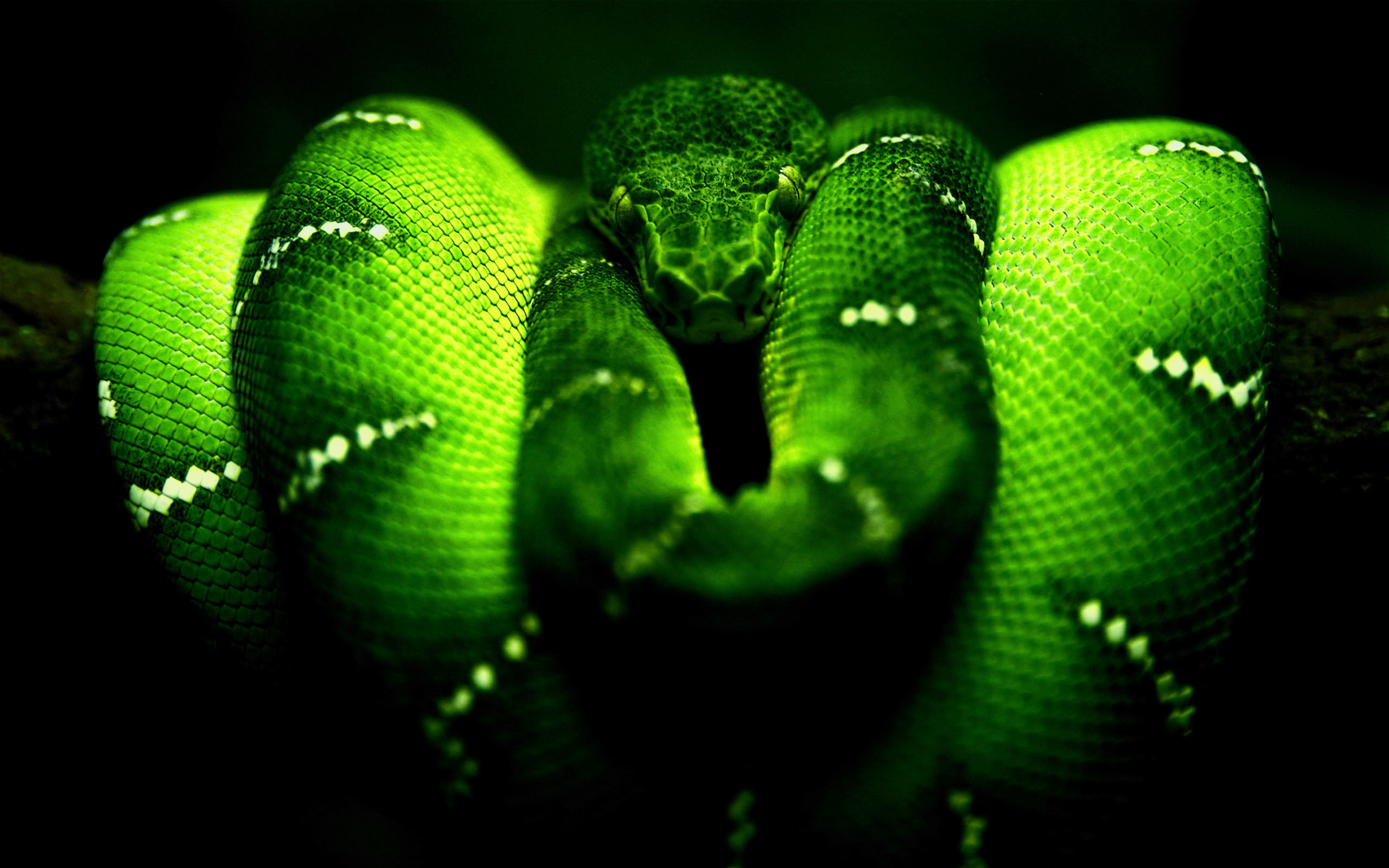 2560x1600 Neon Green Snake 1080p Wallpaperscom