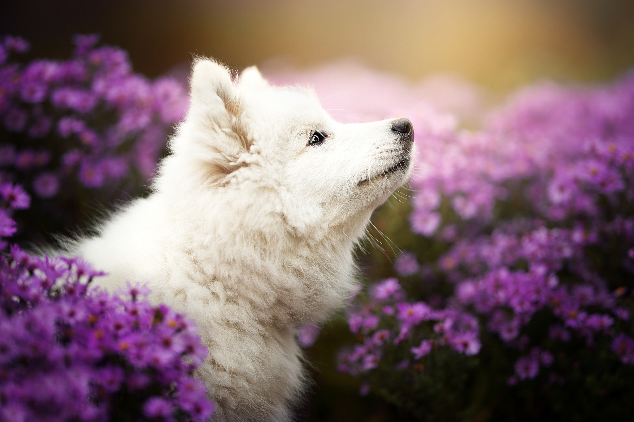 Samoyed Wallpaper 69 Images