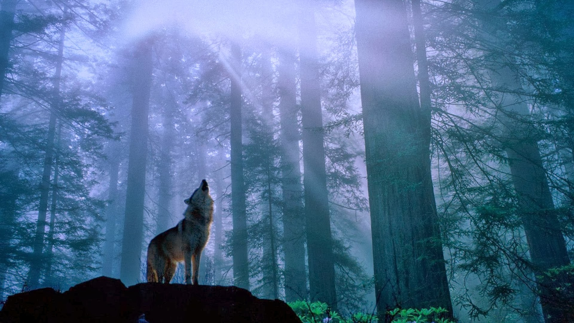 1920x1080 Howling Wolf Wallpaper - WallpaperSafari ...