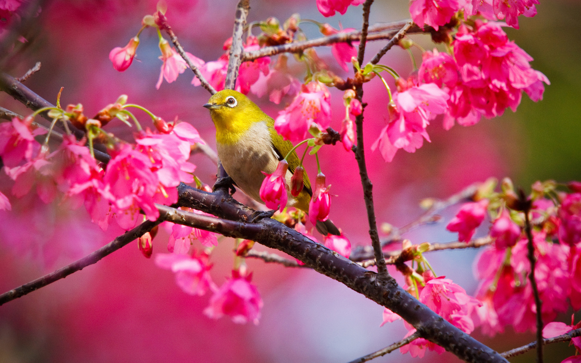 1920x1200 Animals birds nature trees flowers blossoms colors pink wallpaper |   | 23220 | WallpaperUP