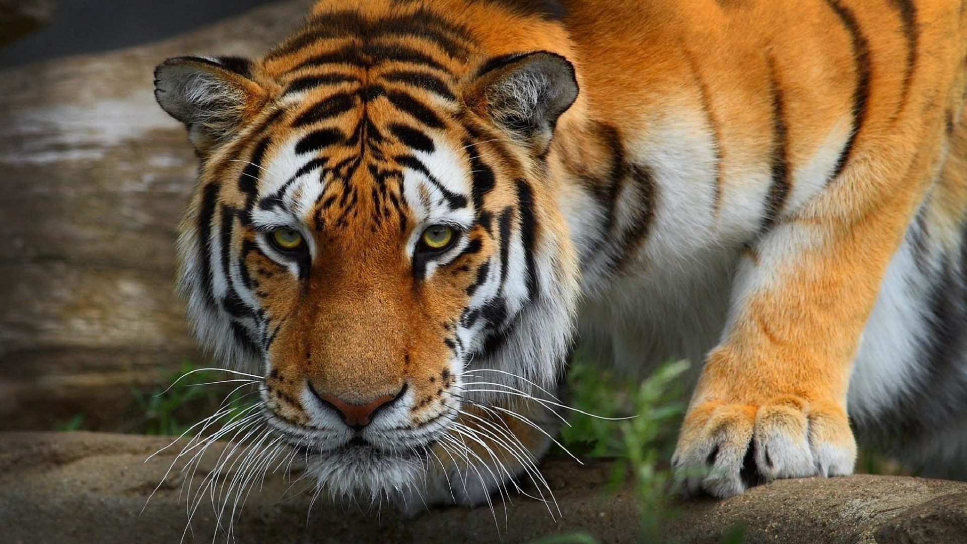 1920x1080 Animals Wallpaper Jungle Awesome Big Cats Tigers Snout Glance Animals Tiger  Wallpaper Pix Of Animals Wallpaper