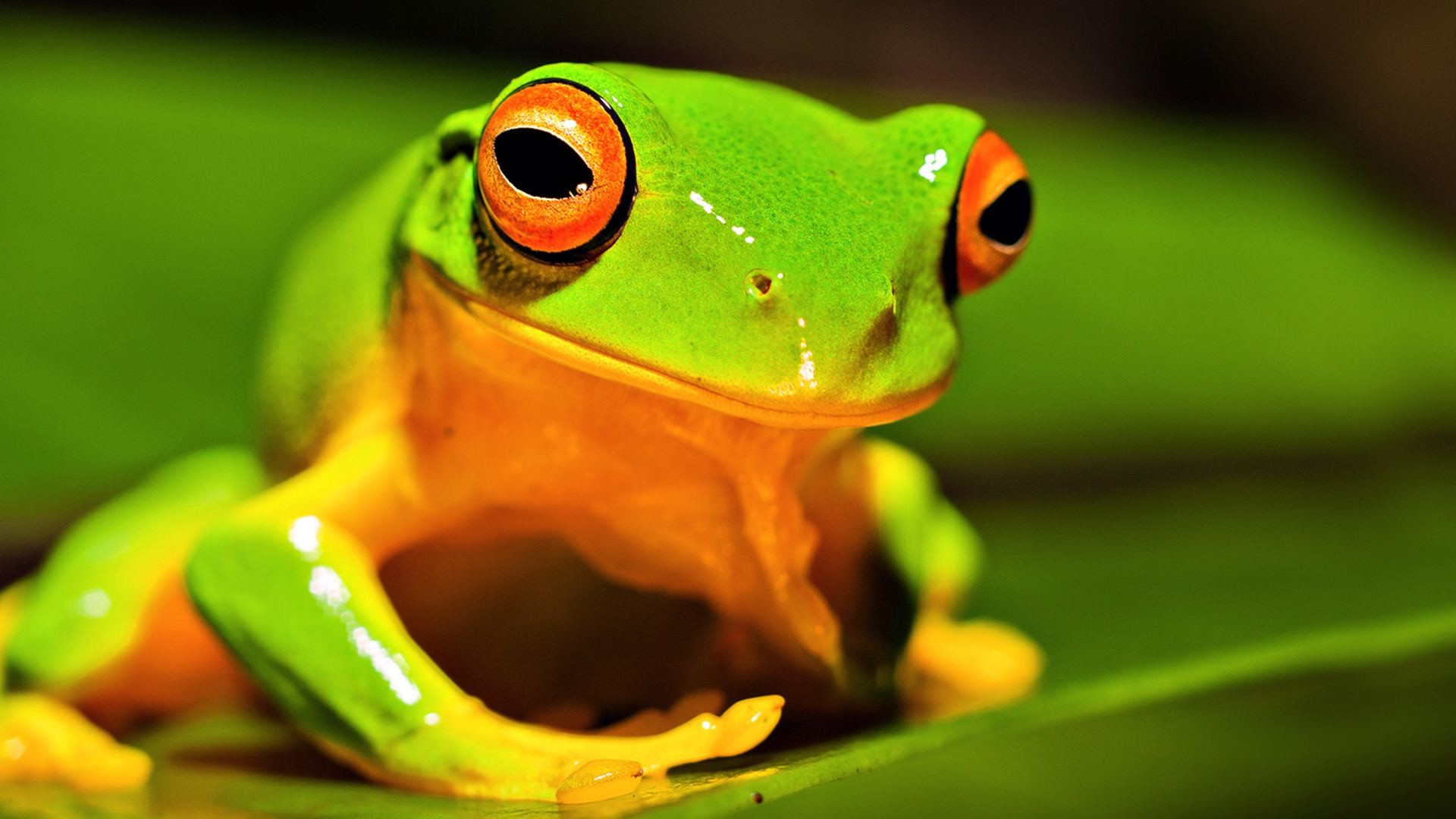 1920x1080 Nature-Animals-Frog-Green-Wallpaper