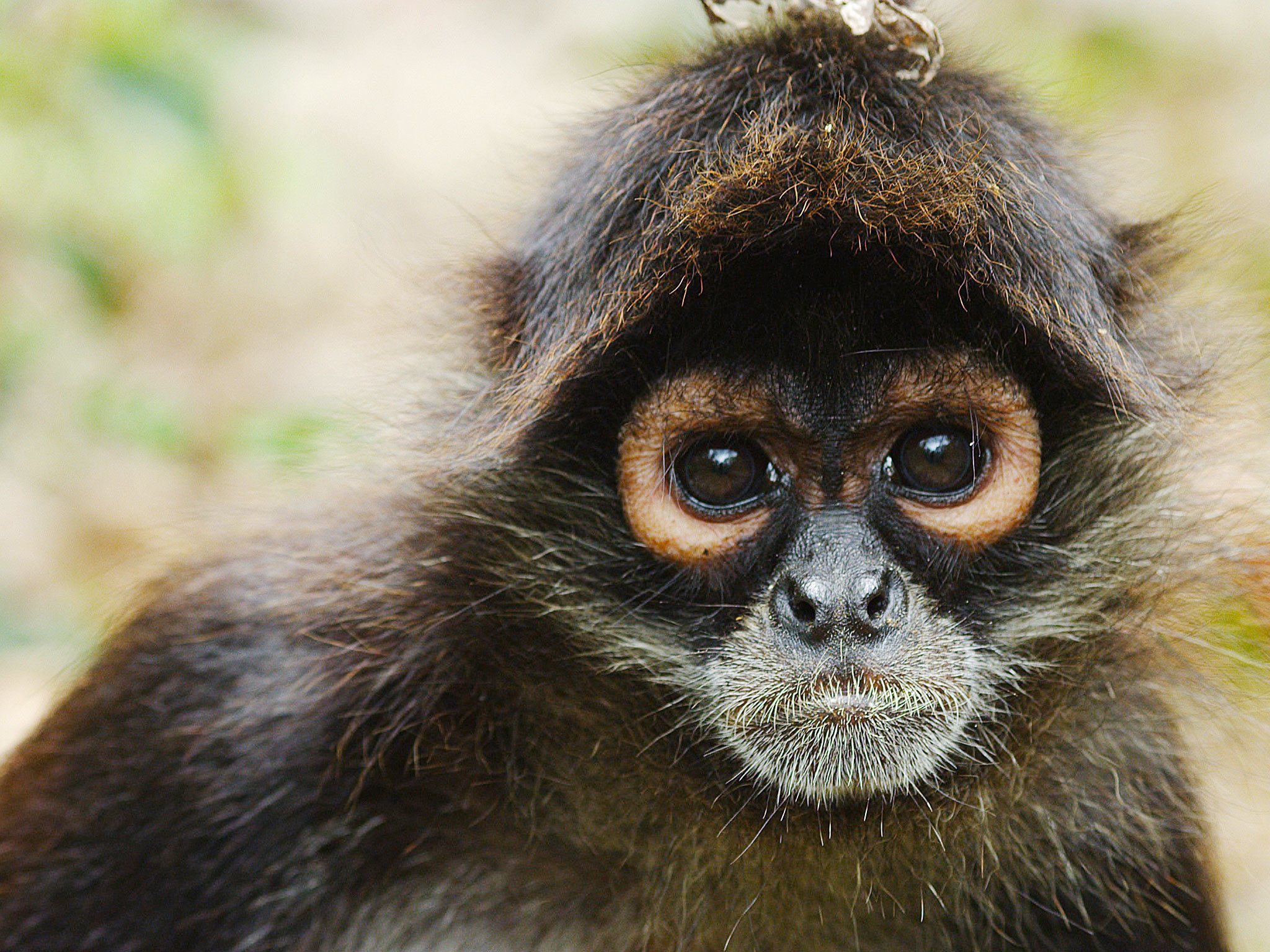2048x1535 A Monkey. This image is from Return of the Spider Monkeys. [Photo of