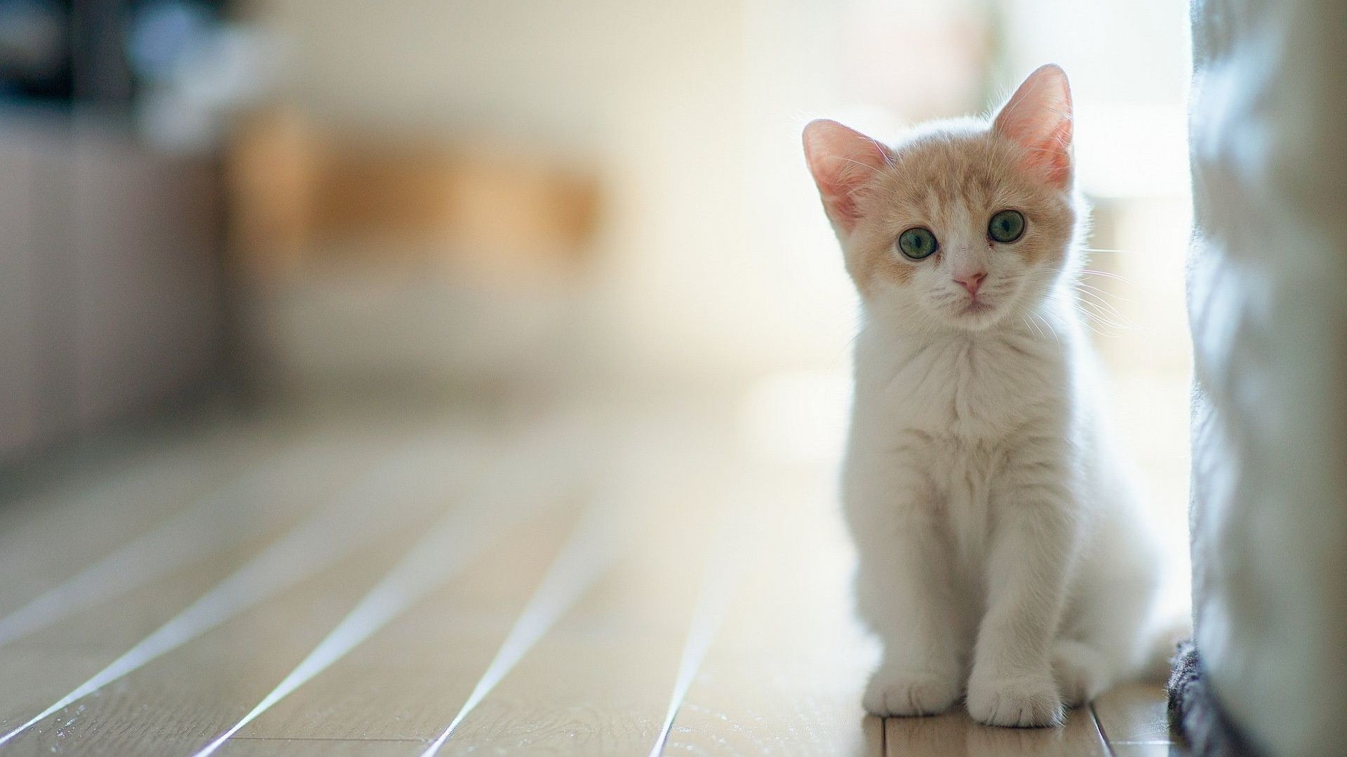 1920x1080 Amazed White Kitten Wallpaper px