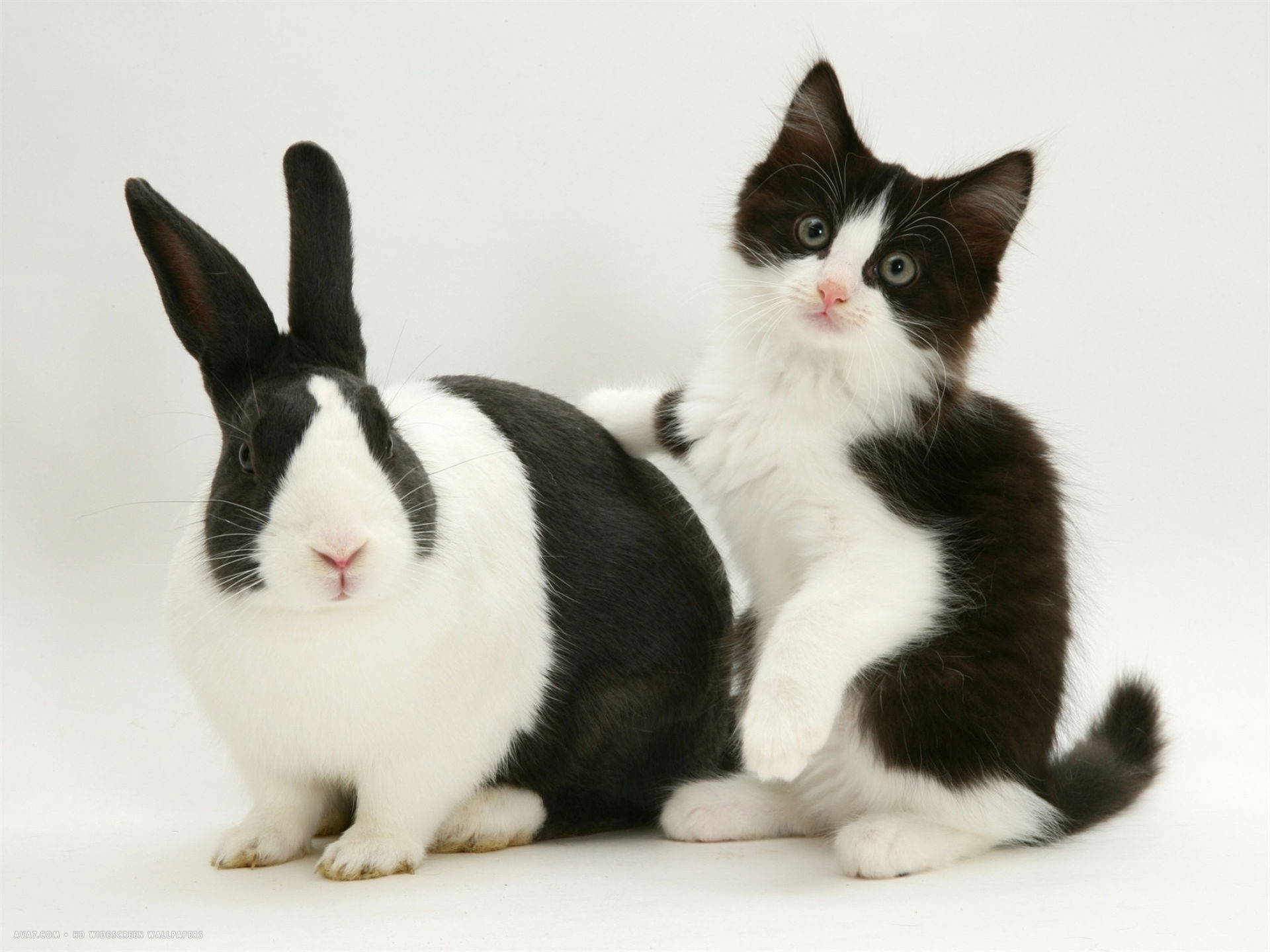 1920x1440 black dutch rabbit with black and white kitten desktop wallpaper