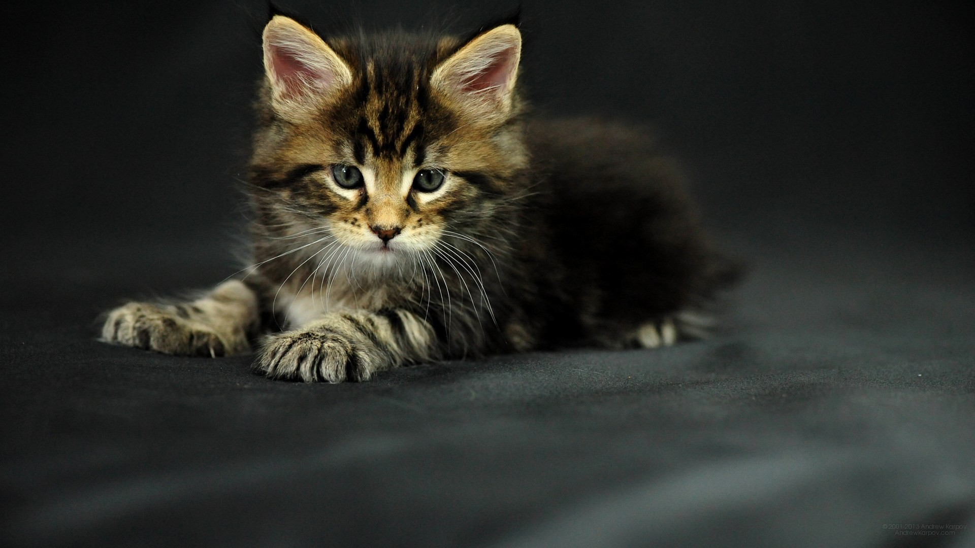 1920x1080 Pictures lolcat Funny Cat desktop wallpaper picture 1920 x 1080 Oracle,  Maine Coon kitten
