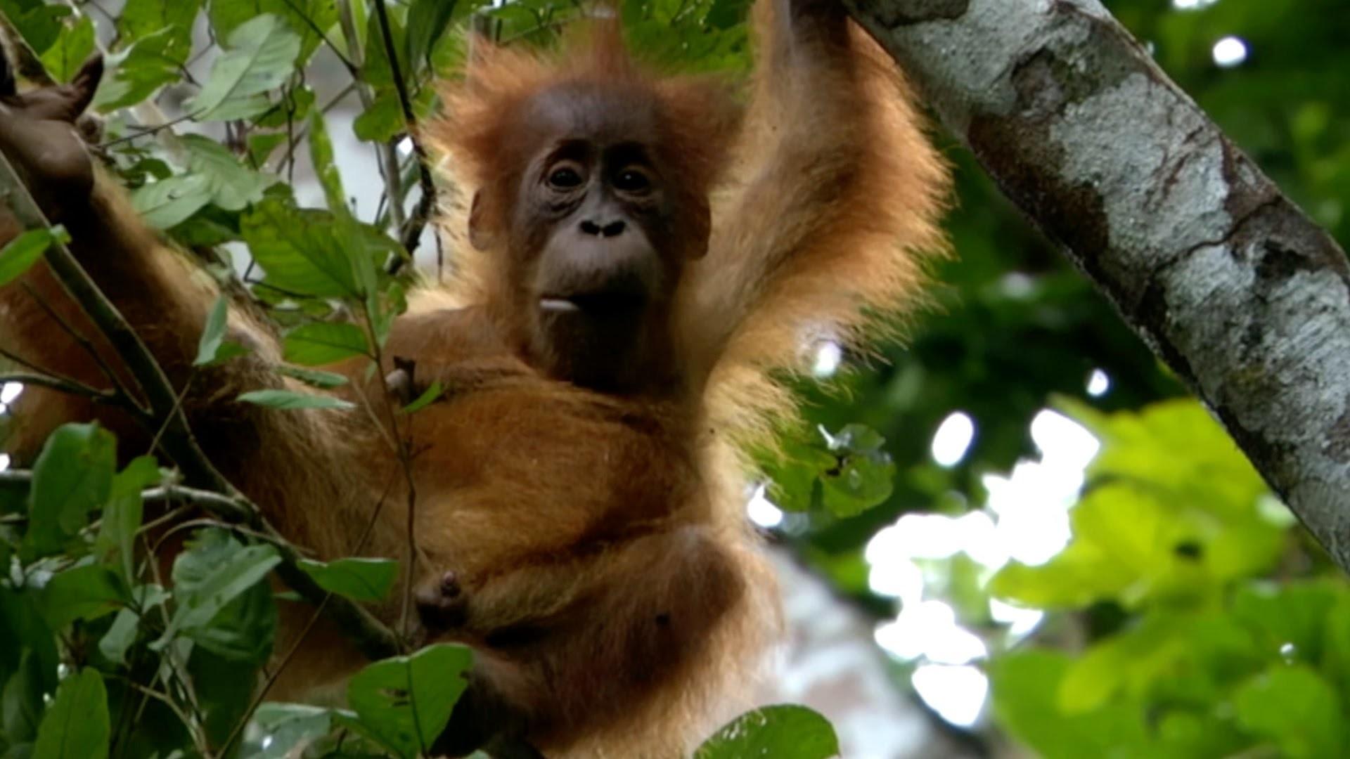 Baby Orangutan Wallpaper 64 Images