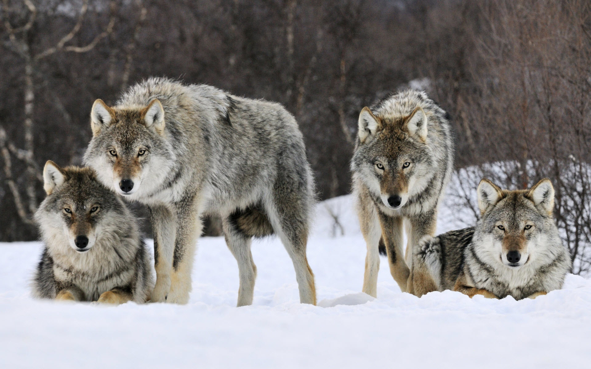 1920x1200 Gray Wolves Norway