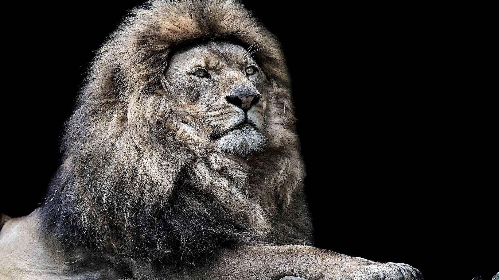 White Lion Face Wallpaper Hd 1080p Best Hd Wallpaper