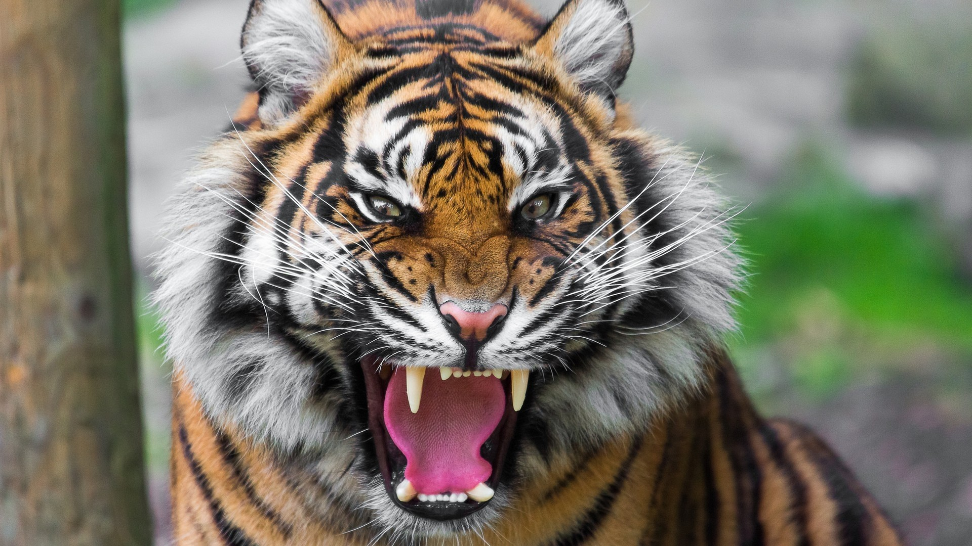 tiger hd wallpaper (81+ images)