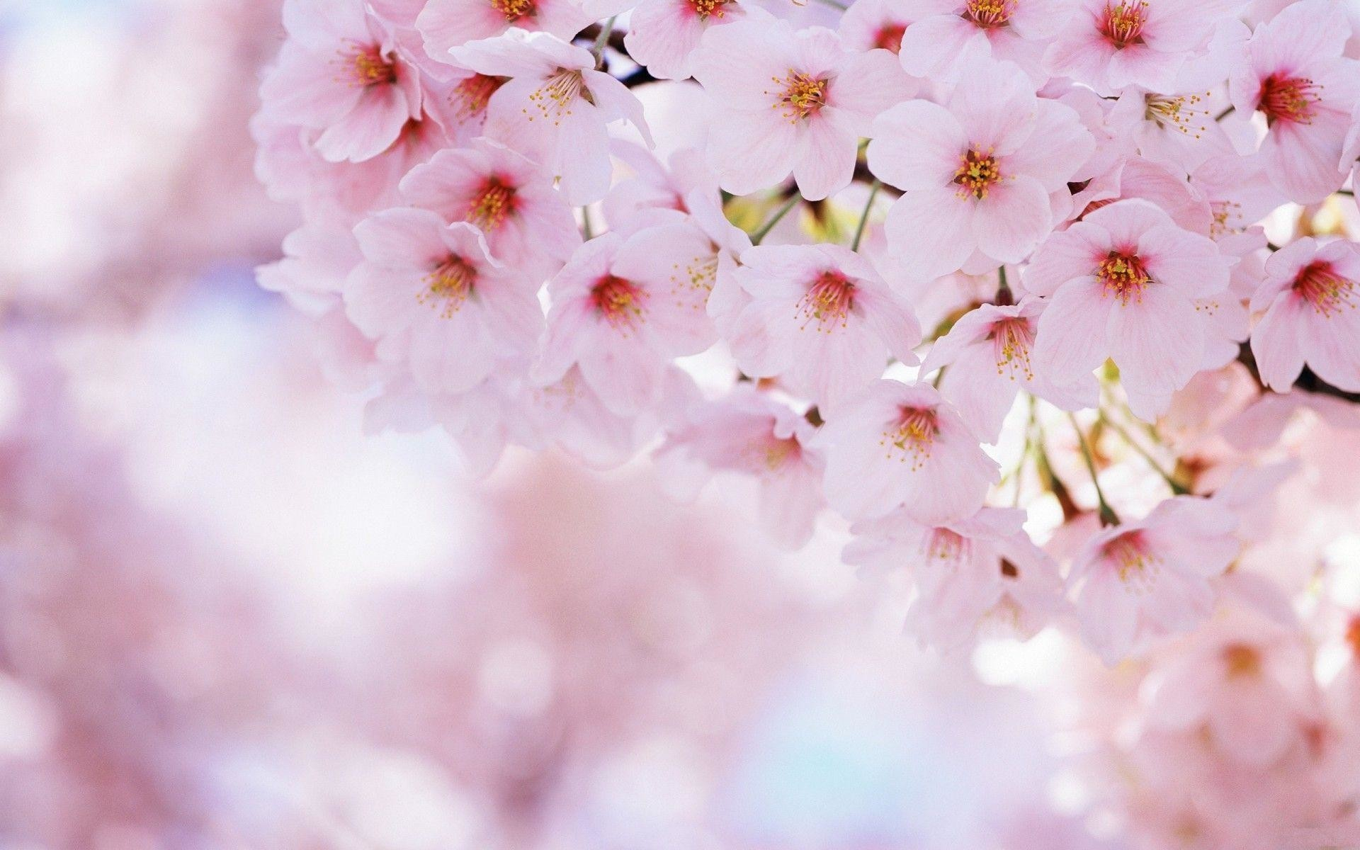1920x1200 Wallpapers For > Anime Cherry Blossoms Wallpaper