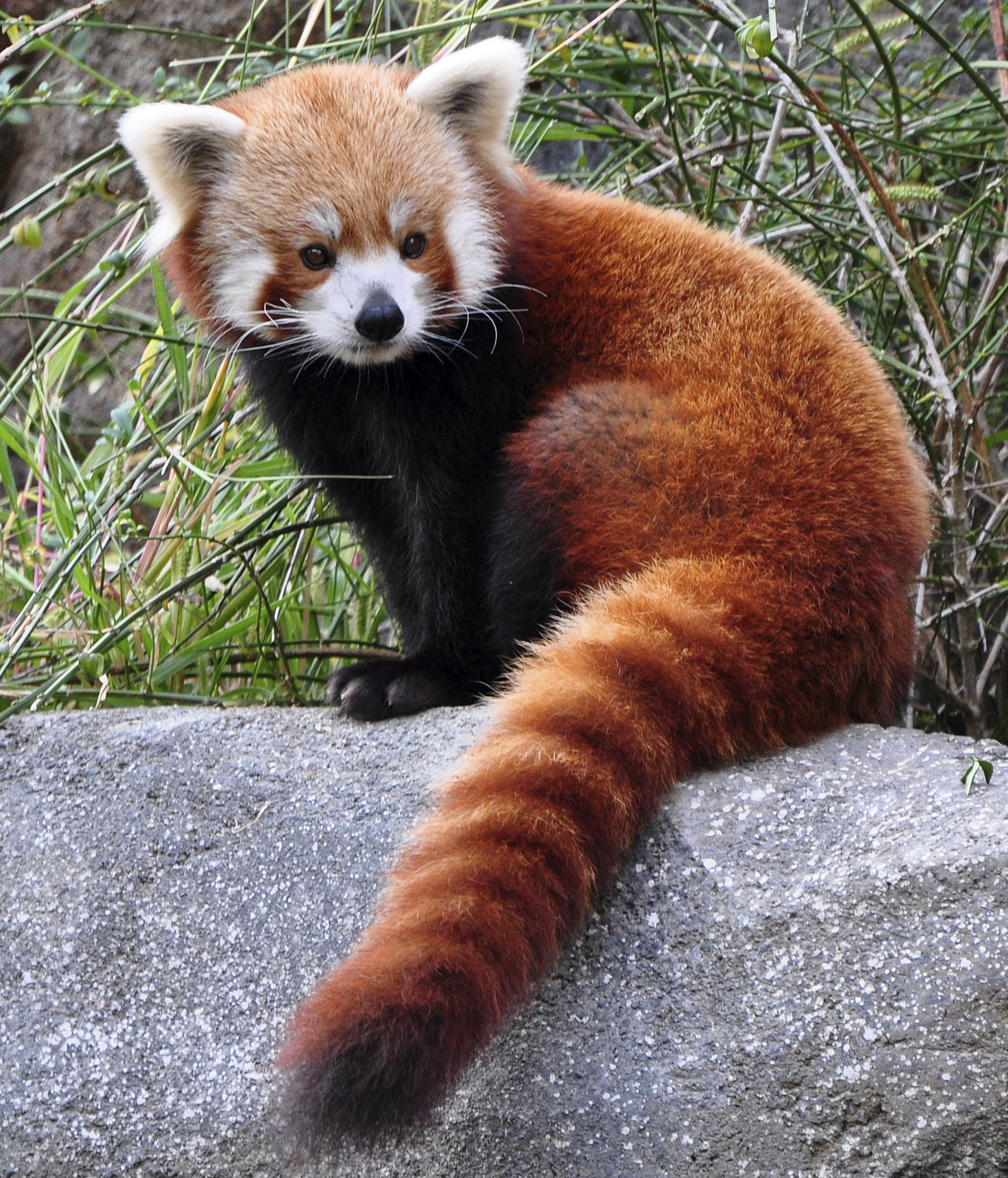 1817x2123 red panda animal pictures - HD Wallpapers