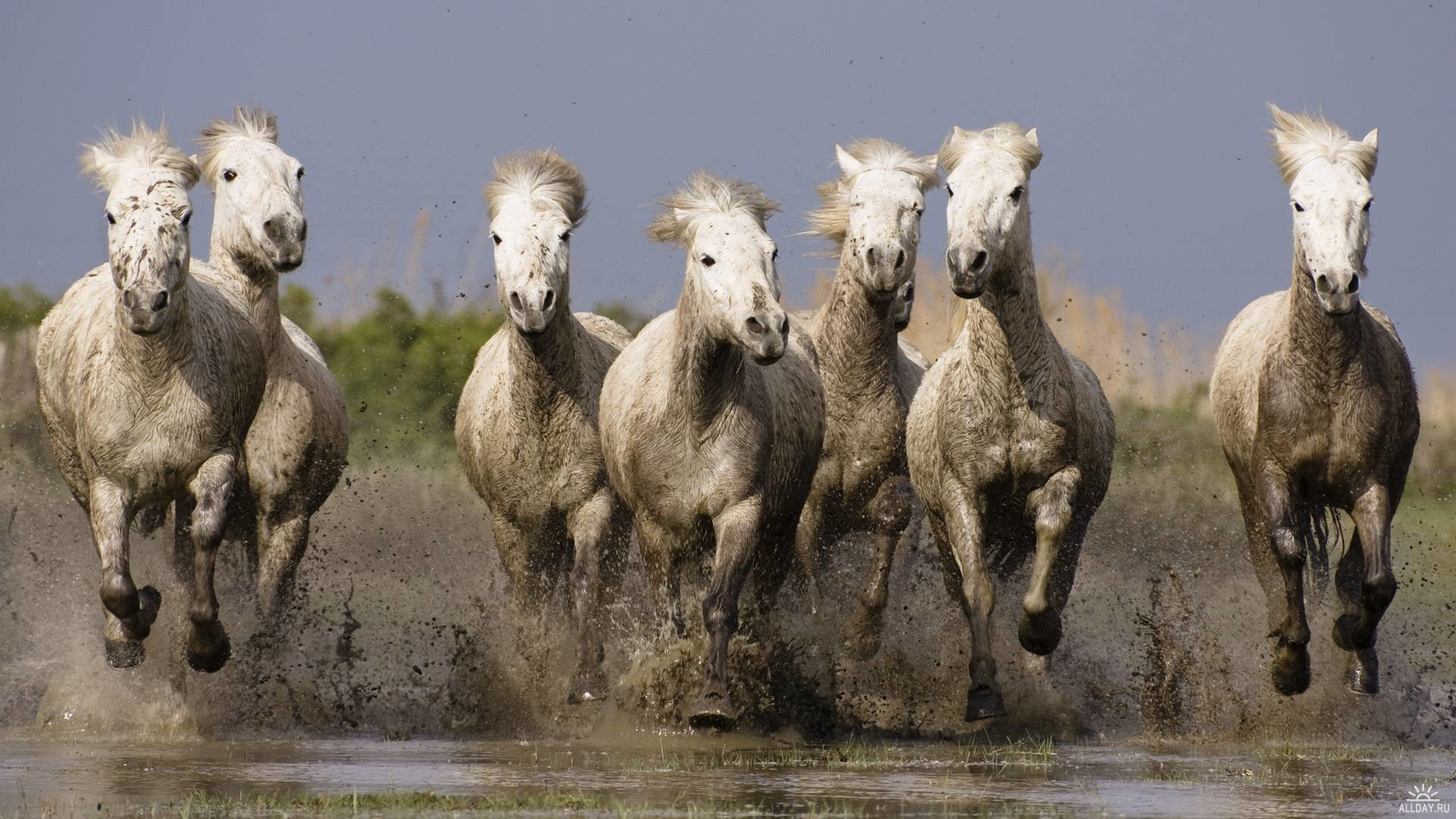 1920x1080 Image detail for -Photography - Camargue Horses Southern France free  wallpaper viewing .