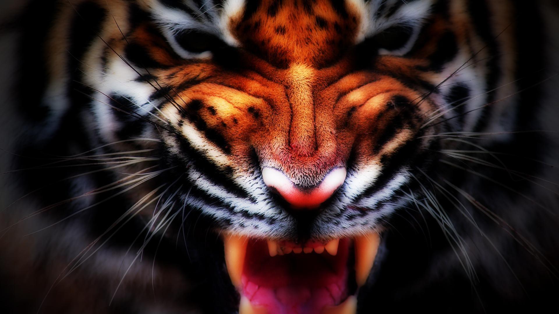 1920x1080 Tiger Iphone Wallpaper Download