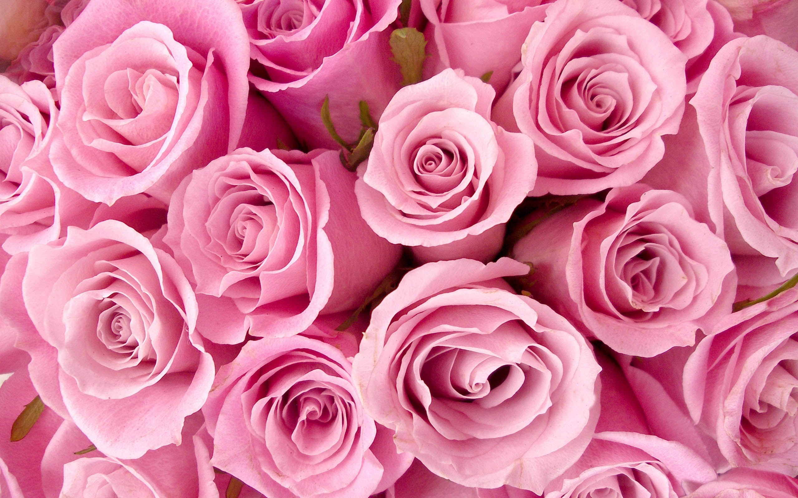 2560x1600 Pink Roses Tumblr - wallpaper.