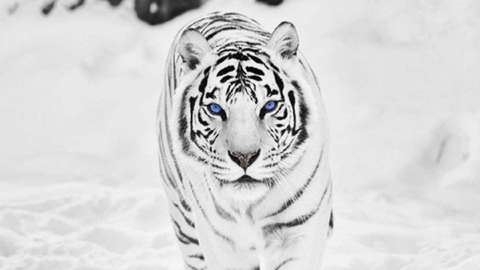 White siberian tiger wallpaper 56 images 1920x1080 siberian white tiger nexus 5 wallpaper 1920x1080 voltagebd Images