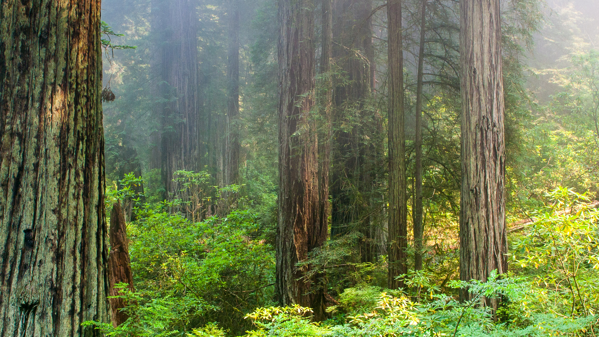 1920x1080 Foggy morning in Redwood National Park [] ...