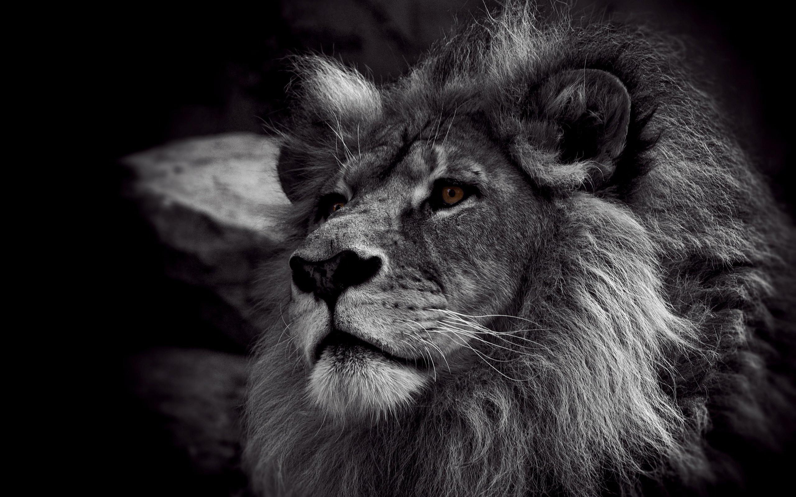 black lion hd wallpaper (64+ images)