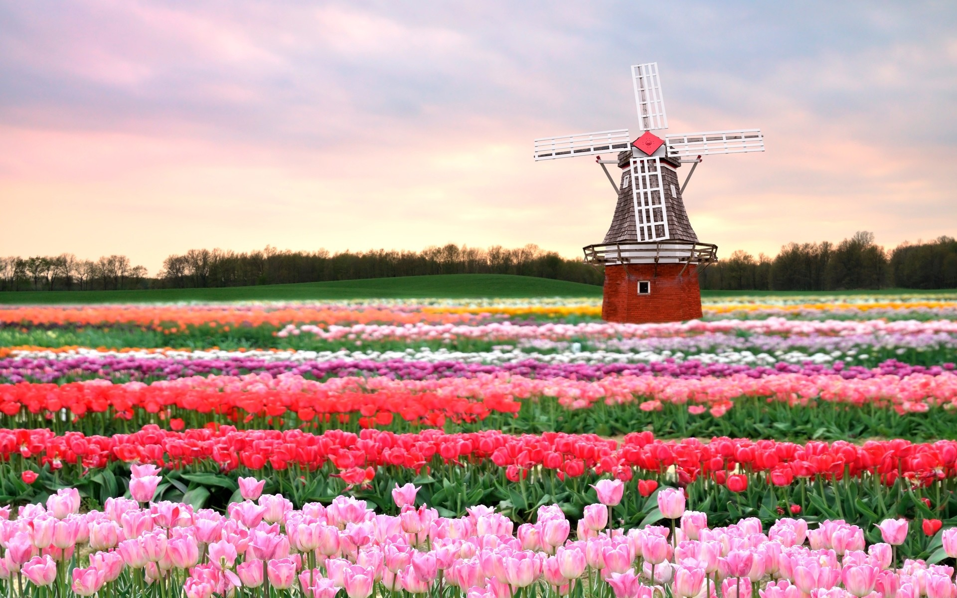 1920x1200 Flowers mill field Tulips pink Spring flowers background new.