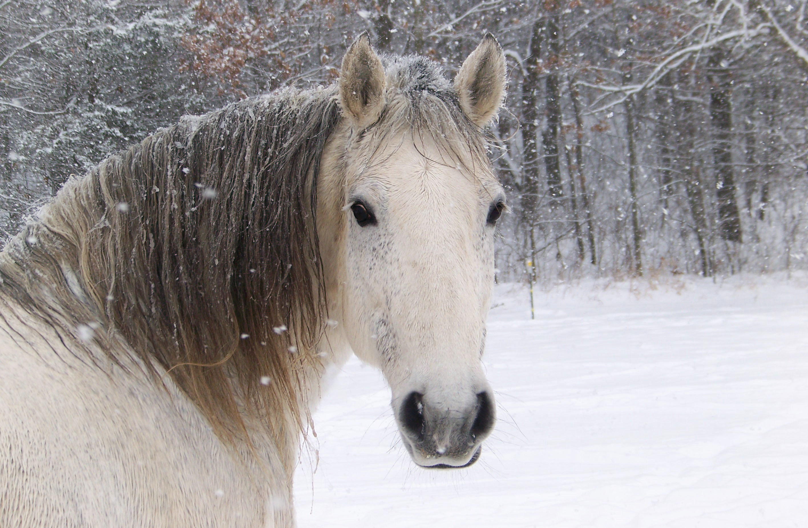 2832x1852 Horses In The Winter Wallpaper Horse Head Snowflake