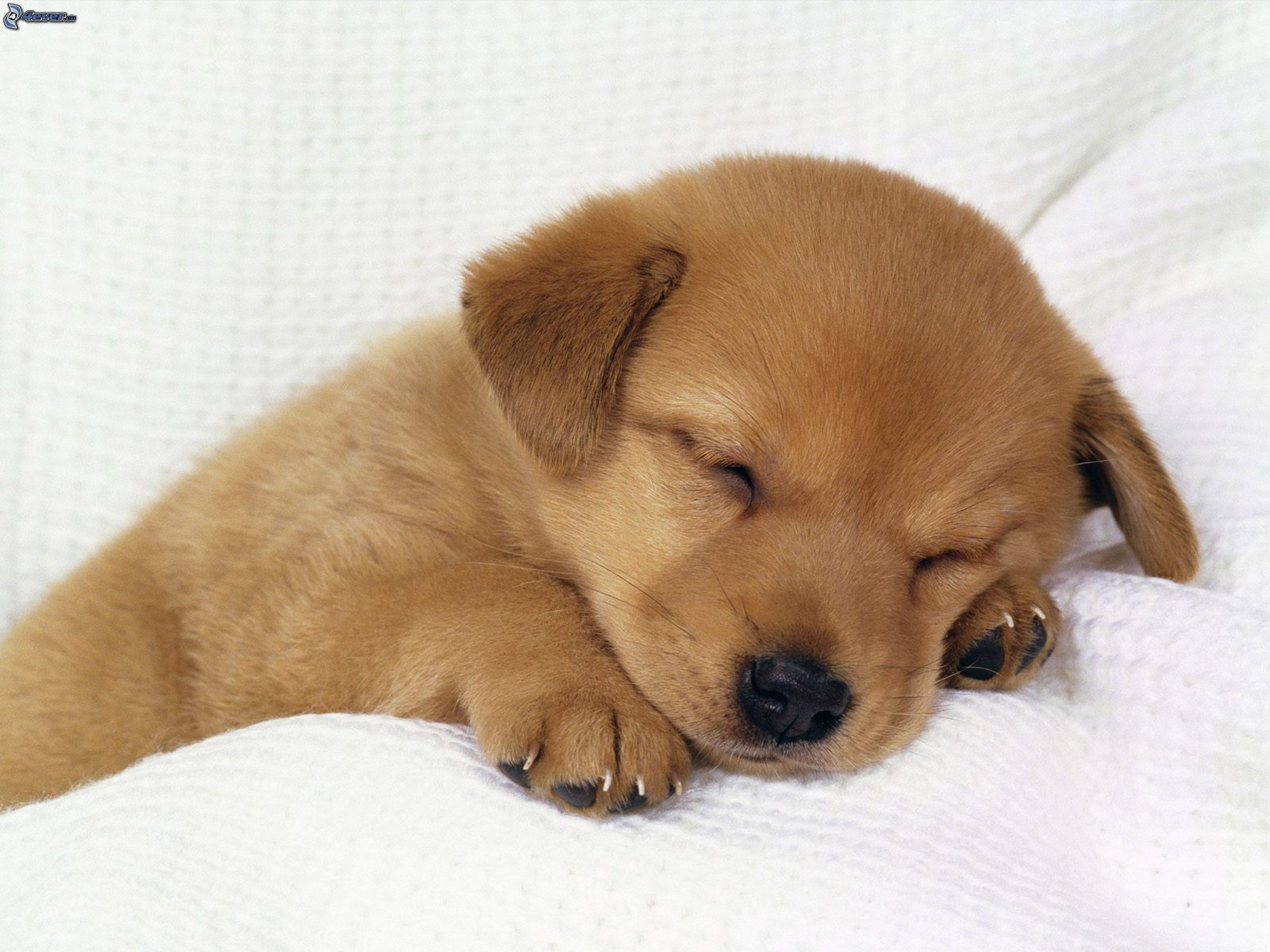 2560x1920 Cute Sleeping Golden Retriever Puppies