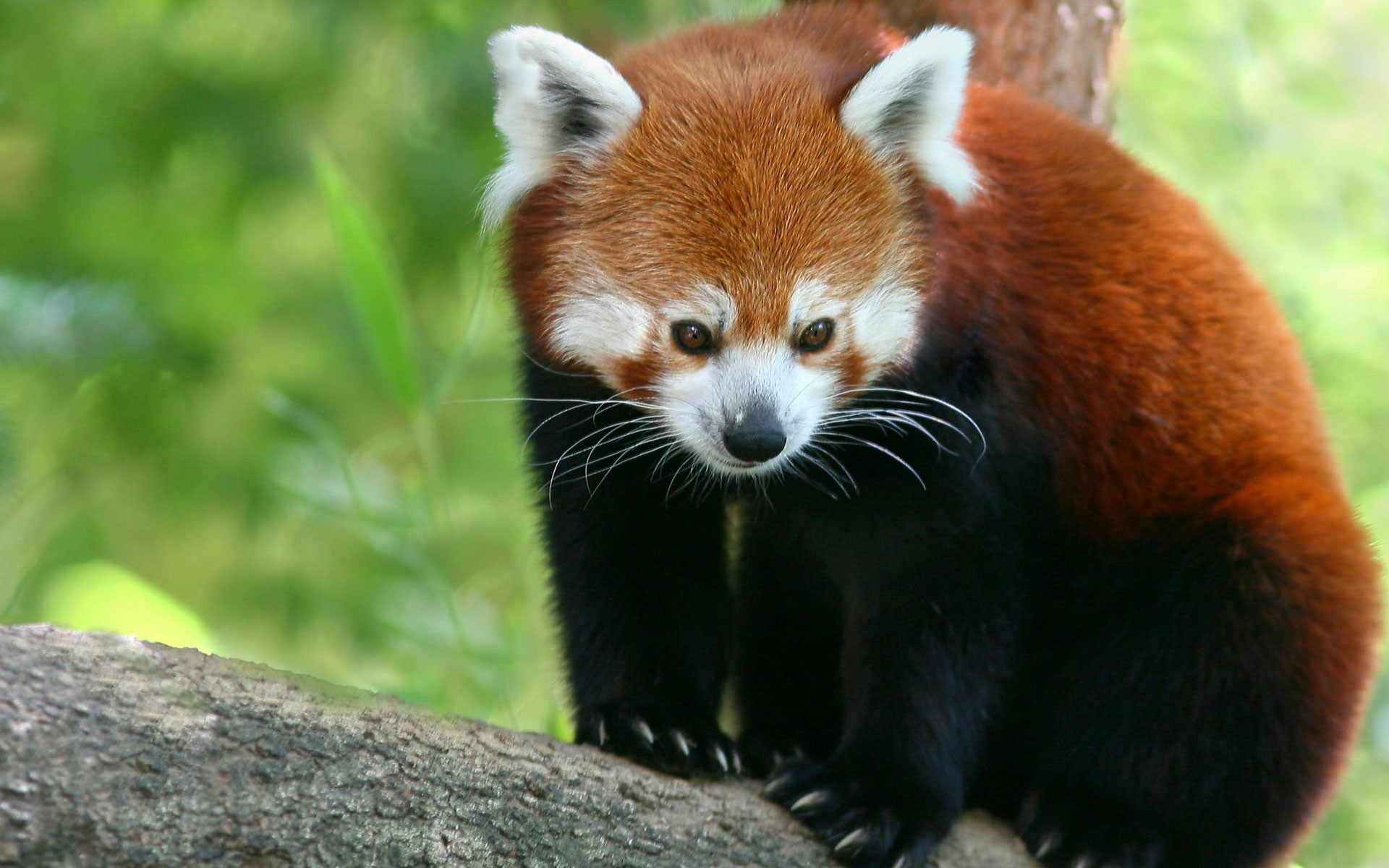 1920x1200 Red Panda Wallpapers | HD Wallpapers