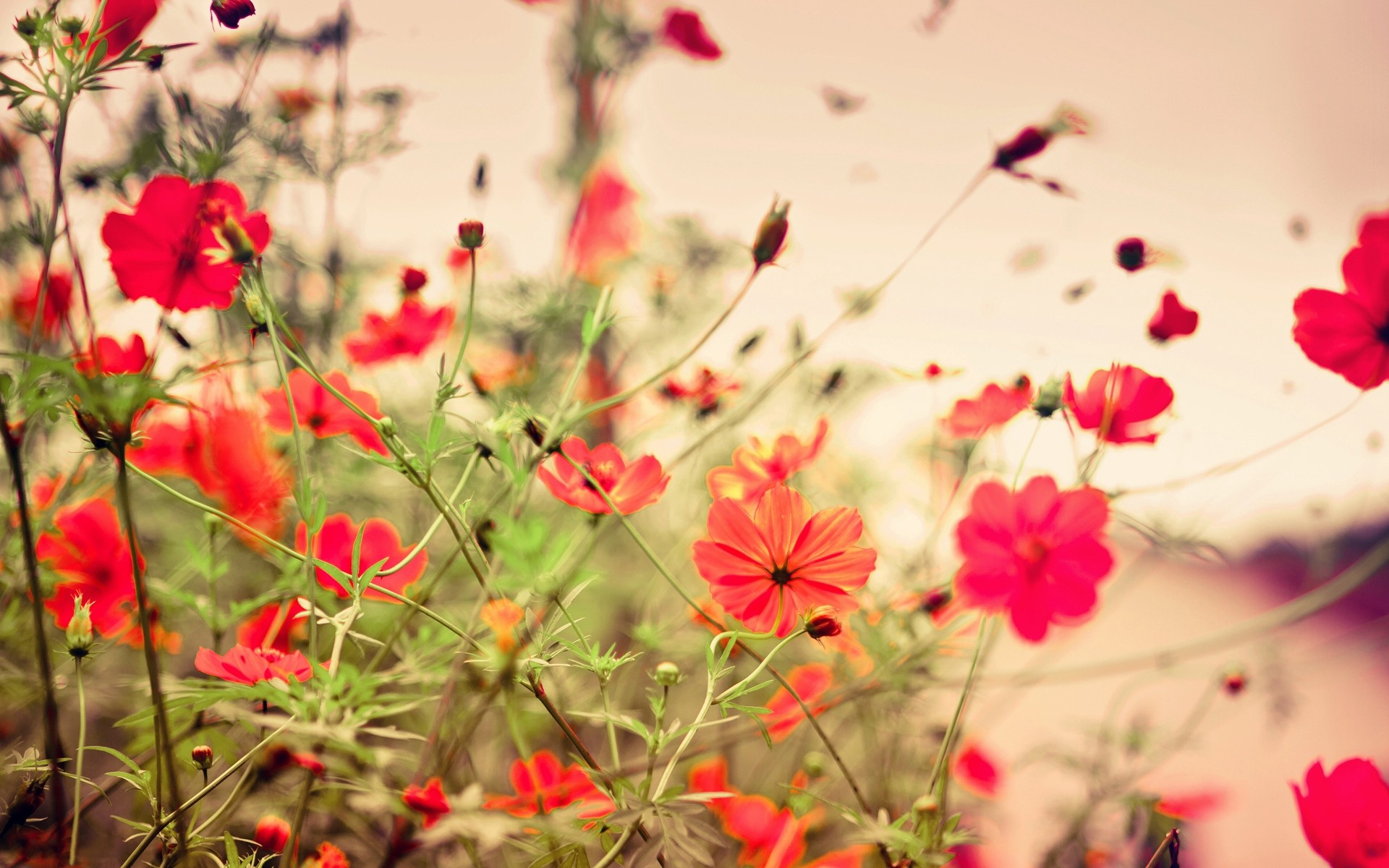 1920x1200  Wallpaper flowers, small, many, meadow, red