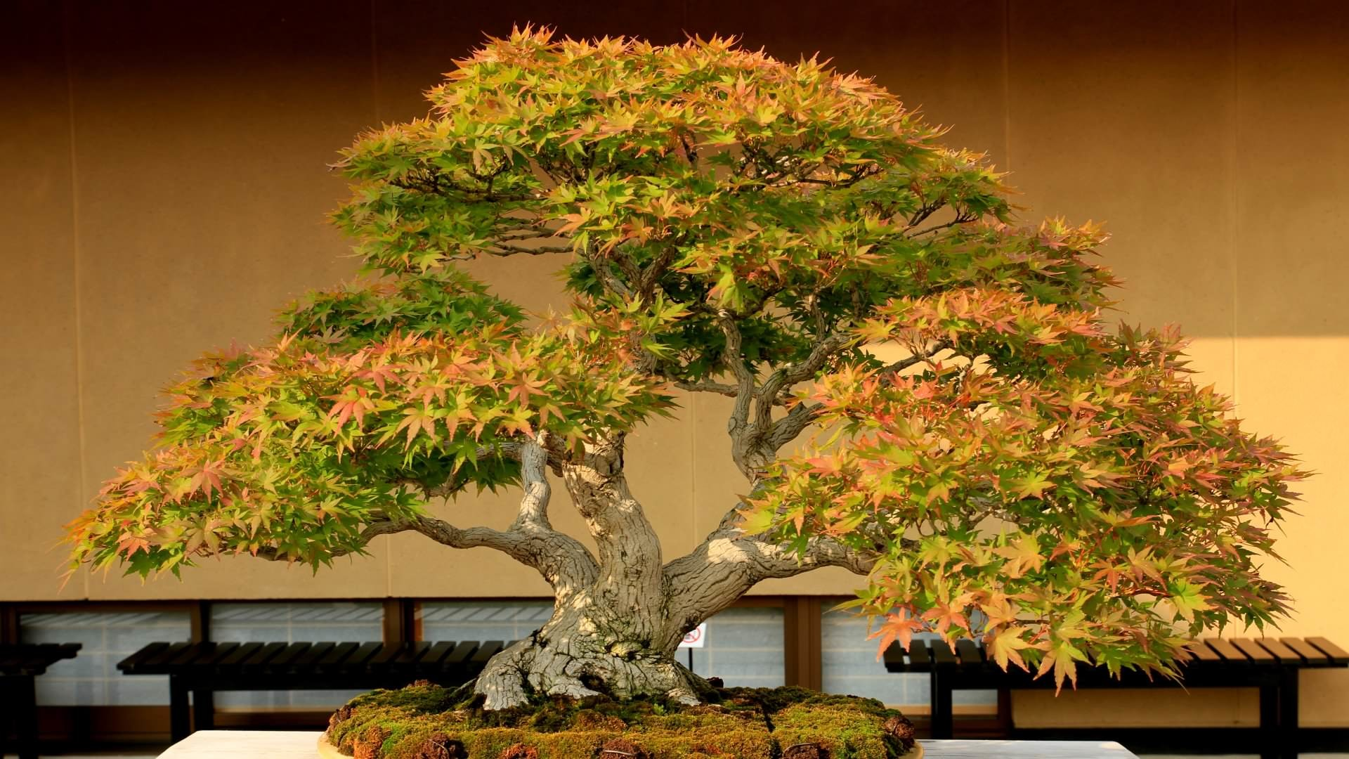 1920x1080 bonsai tree grown in container hd wallpapers [1920*1080] ...