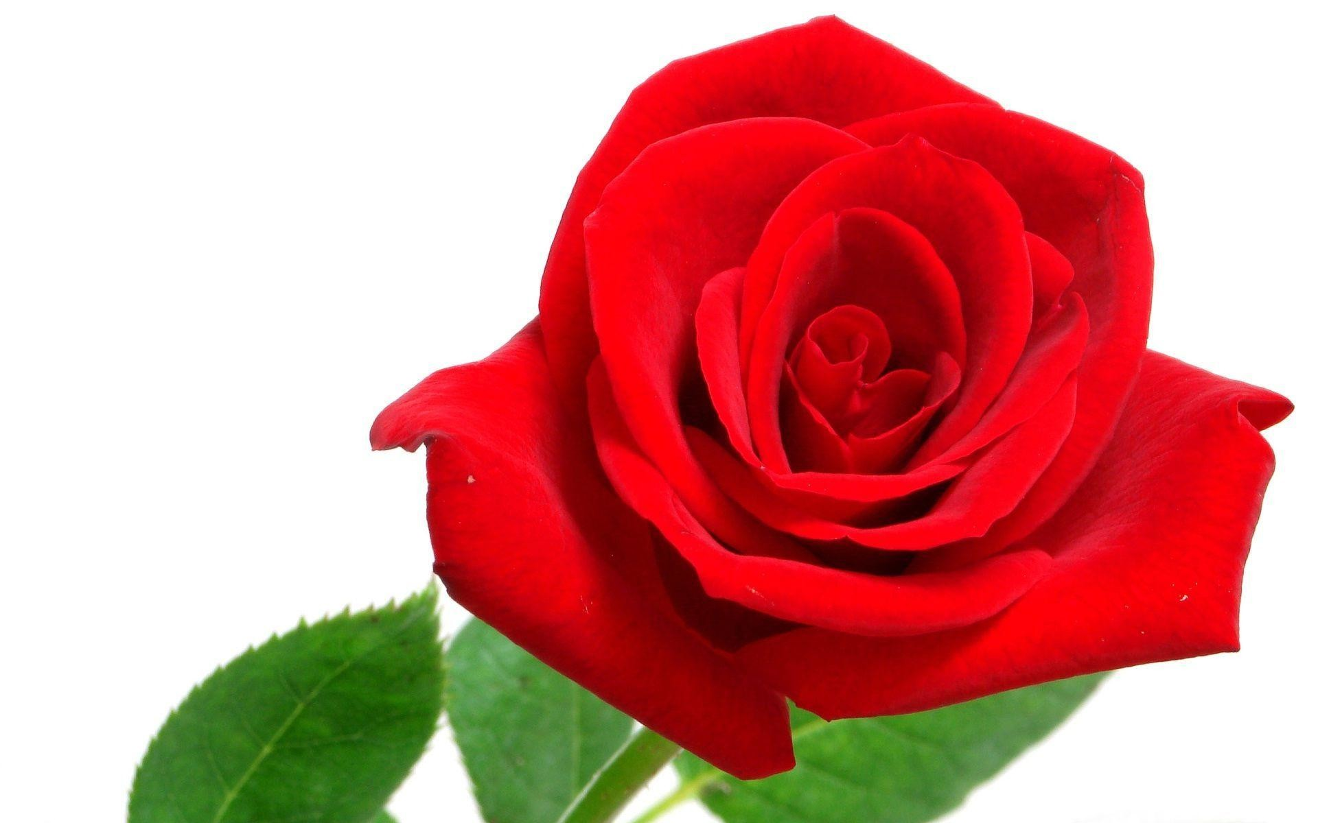 Red Roses with White Background (34+ images)