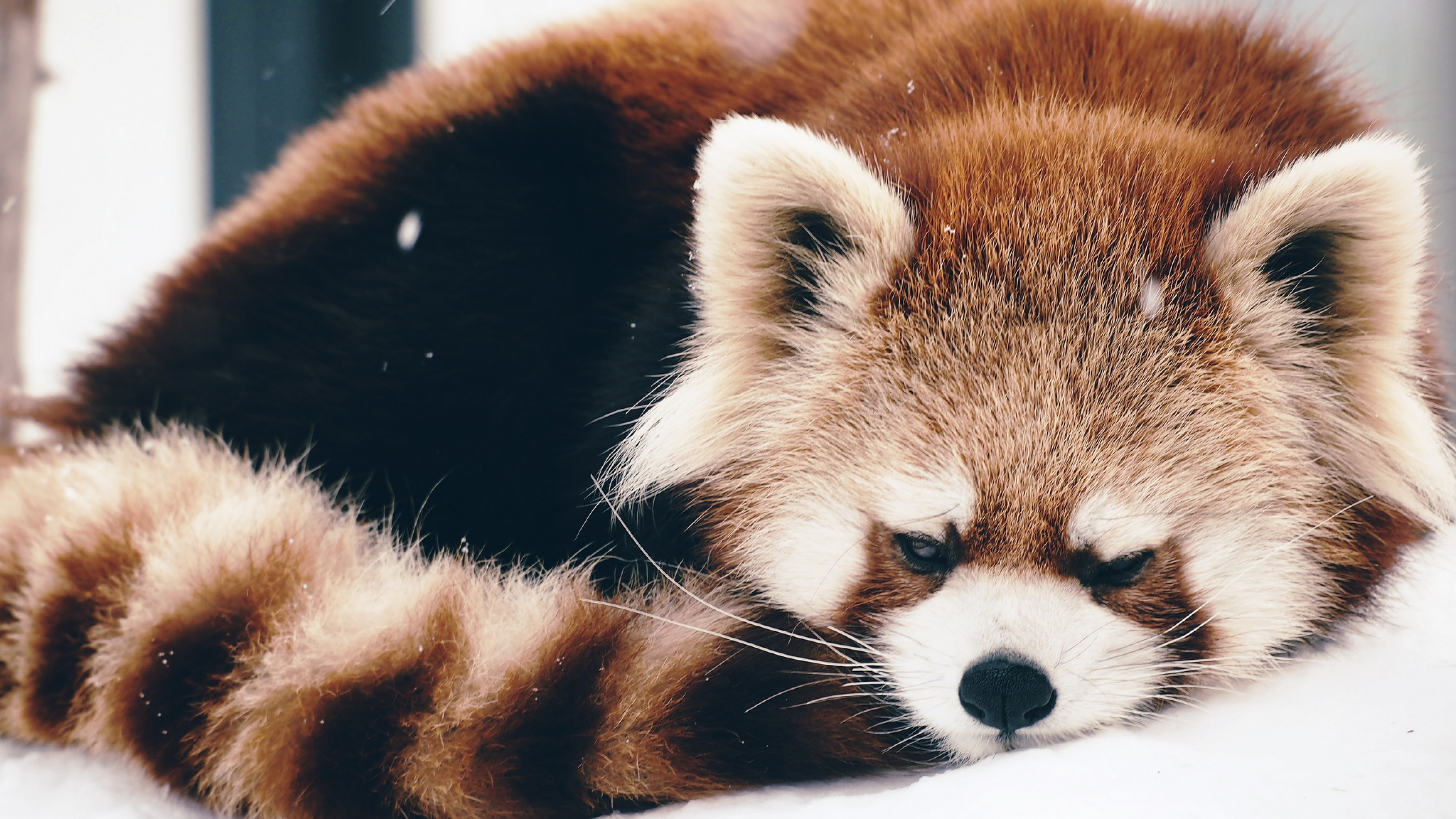 3840x2160 Baby Red Panda Wallpapers Free with High Definition Wallpaper Cute .