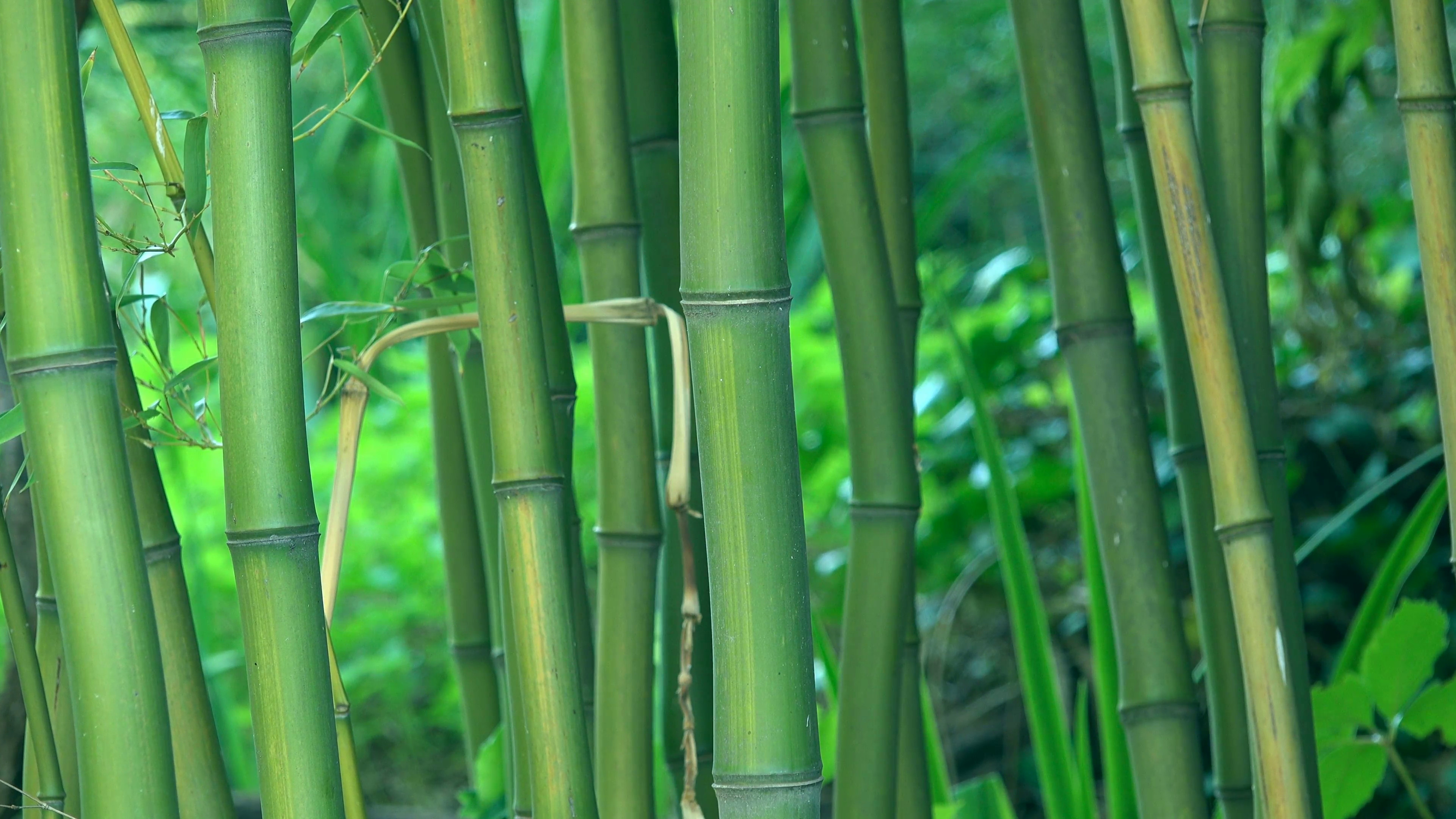 3840x2160 Green bamboo trees as background, bamboo forest detail, 4k uhd footage,  ,